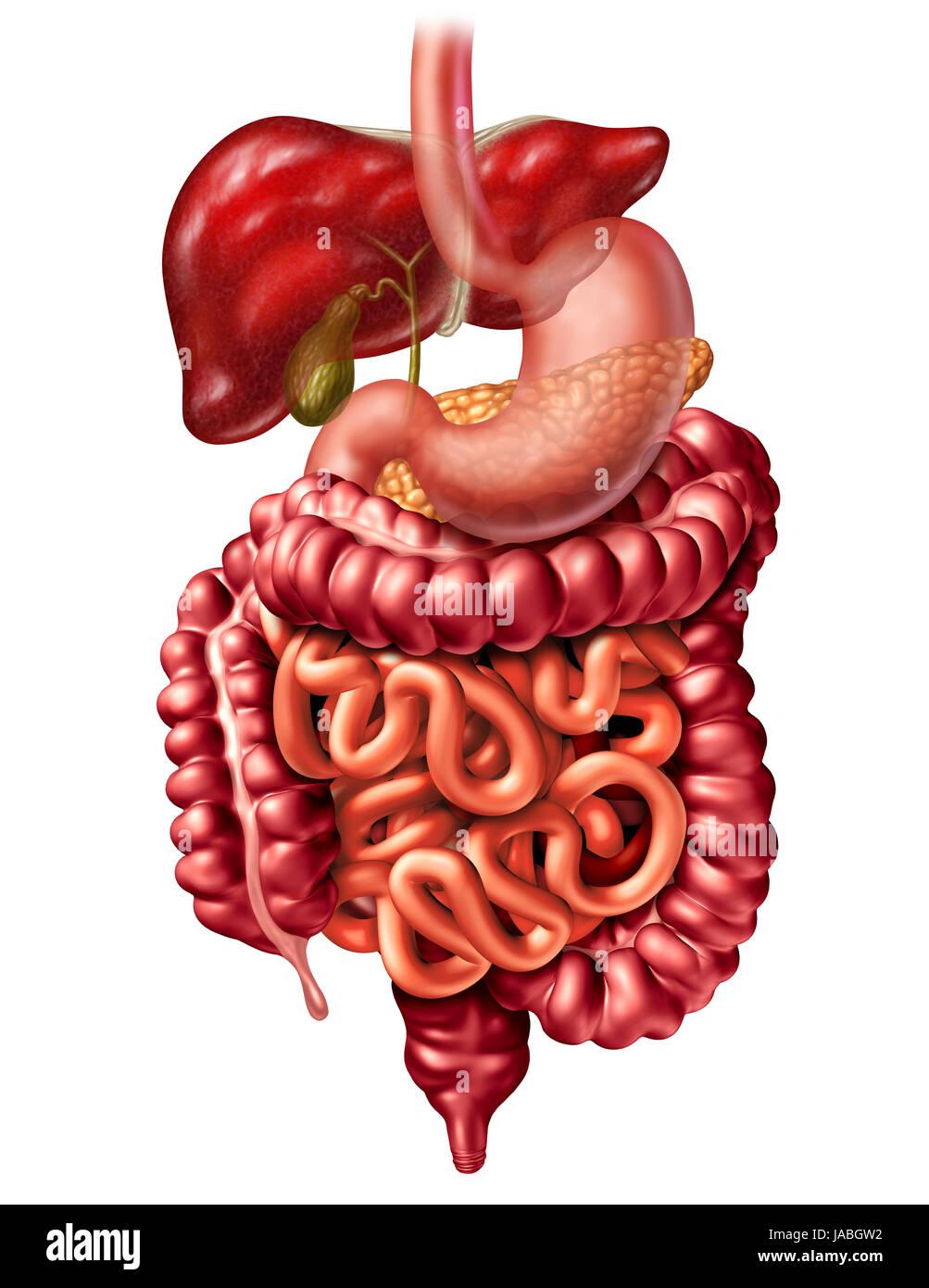 Menschliche Verdauungssystem Anatomie Konzept als Leber ...