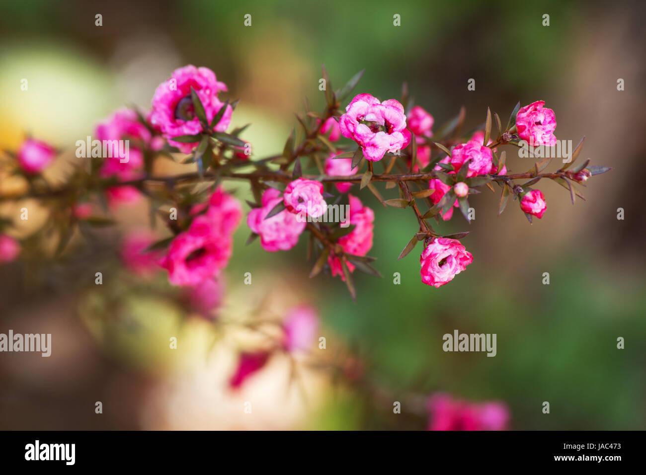 Fuchsia Leptospermum Scoparium Blume Stockbild