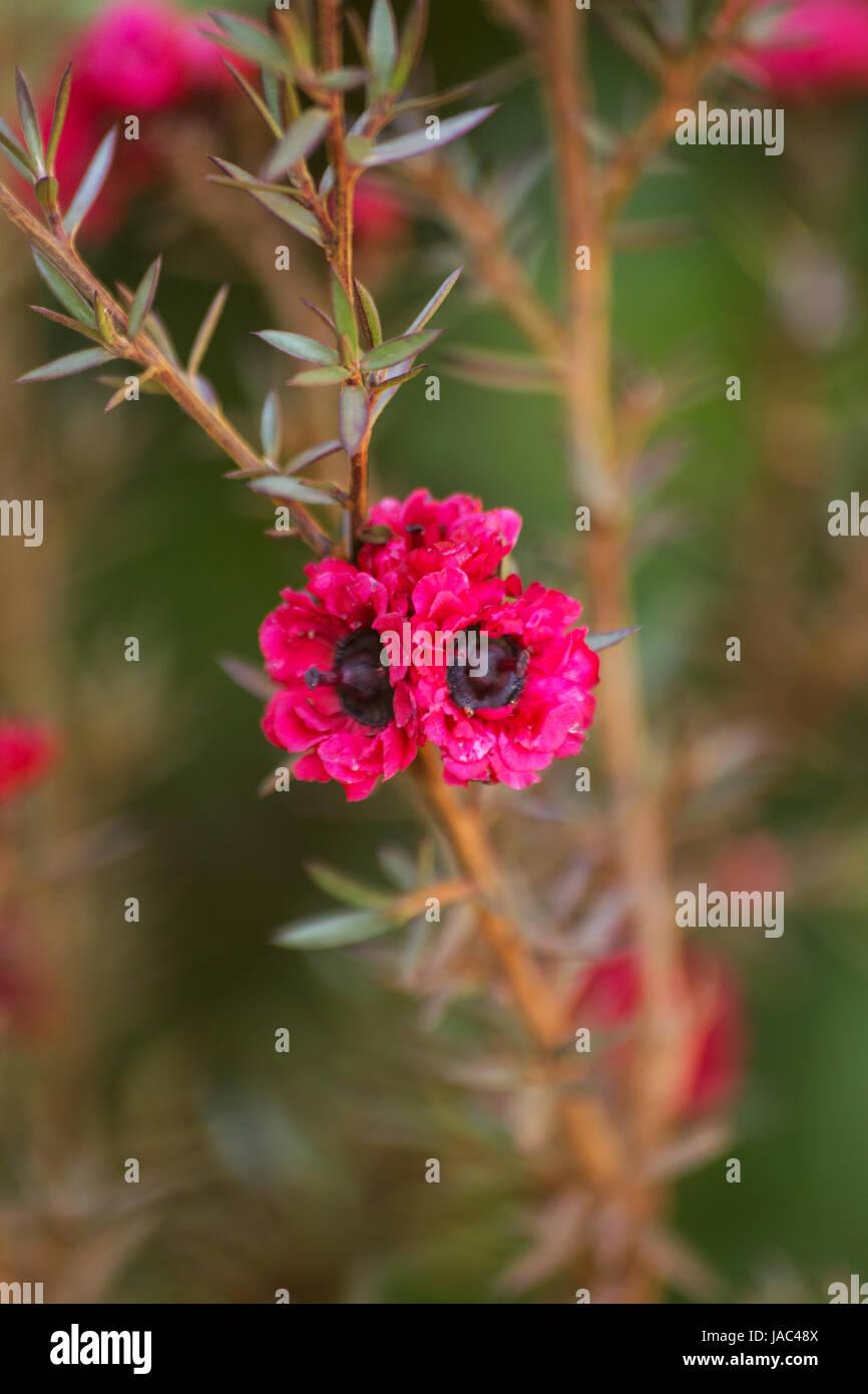 Manuka-Pflanze in voller Blüte Stockbild