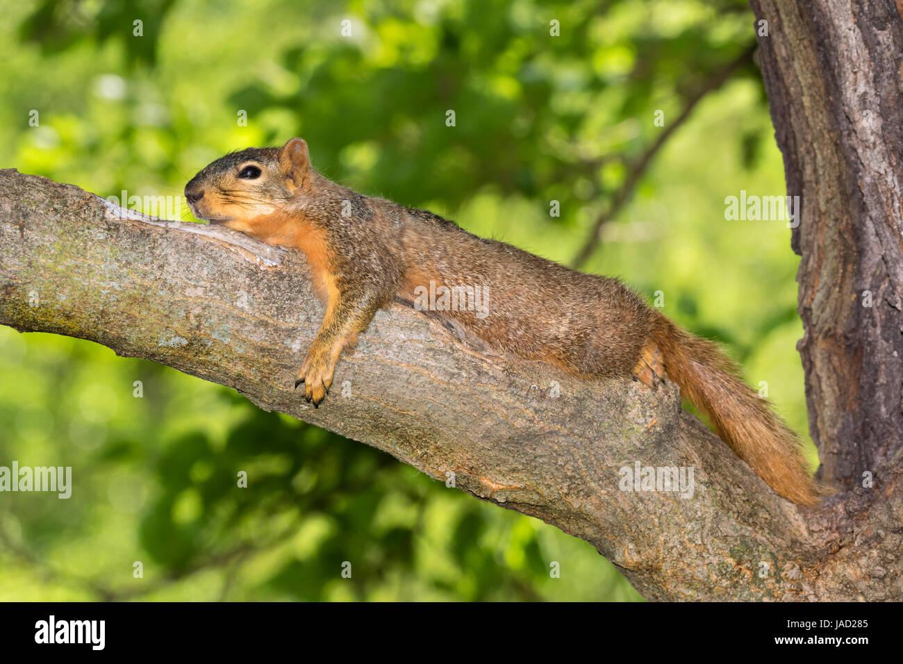 Fuchs, Eichhörnchen (Sciurus Nige) ruhen im Schatten auf Ast an einem heißen Sommertag, Ames, Iowa, USA Stockbild