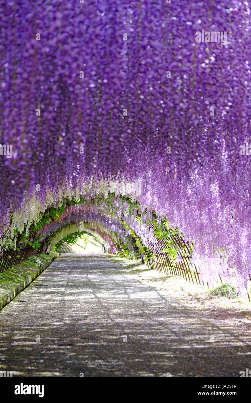 glyzinien tunnel in voller blüte im kawachi fujien wisteria garden