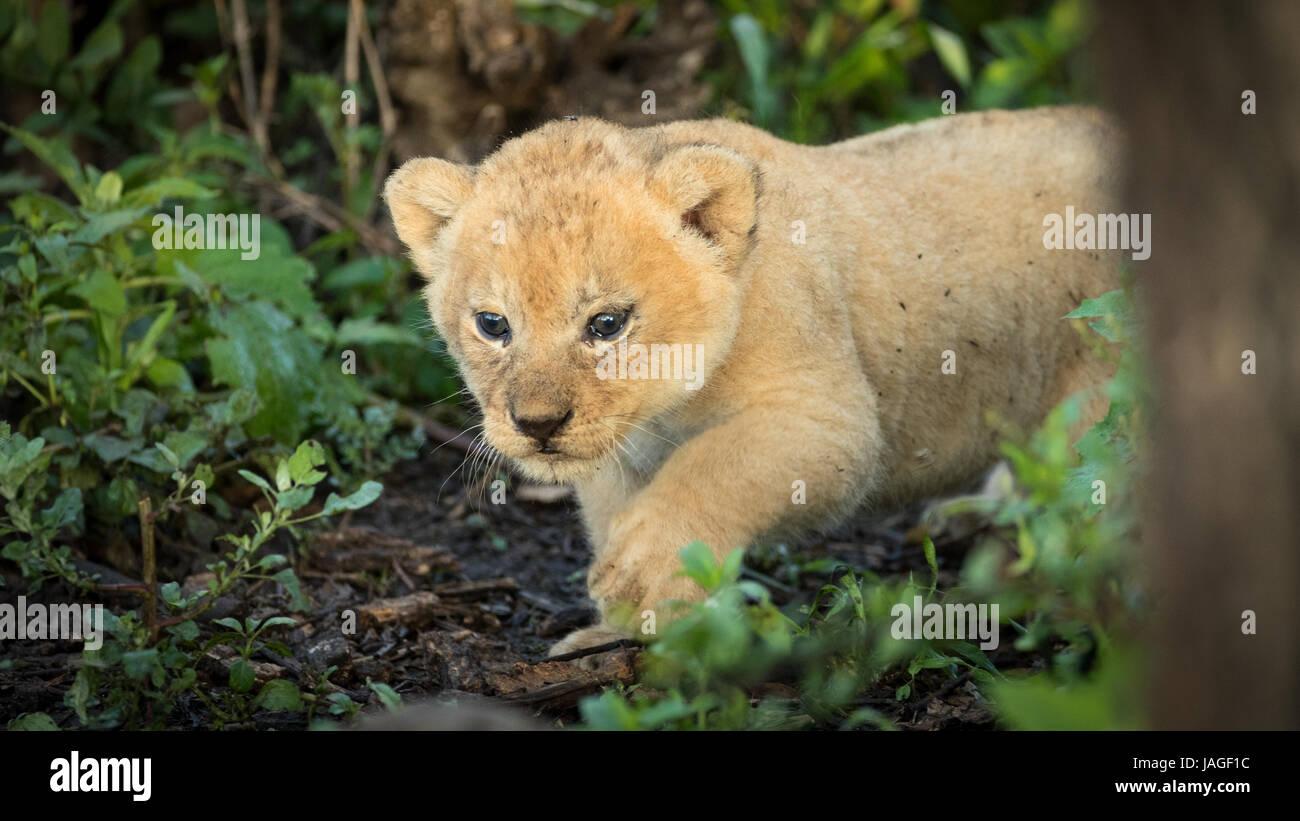 Ein 5 Wochen altes Baby Löwenjunges im Nationalpark Tansanias Serengati Stockbild