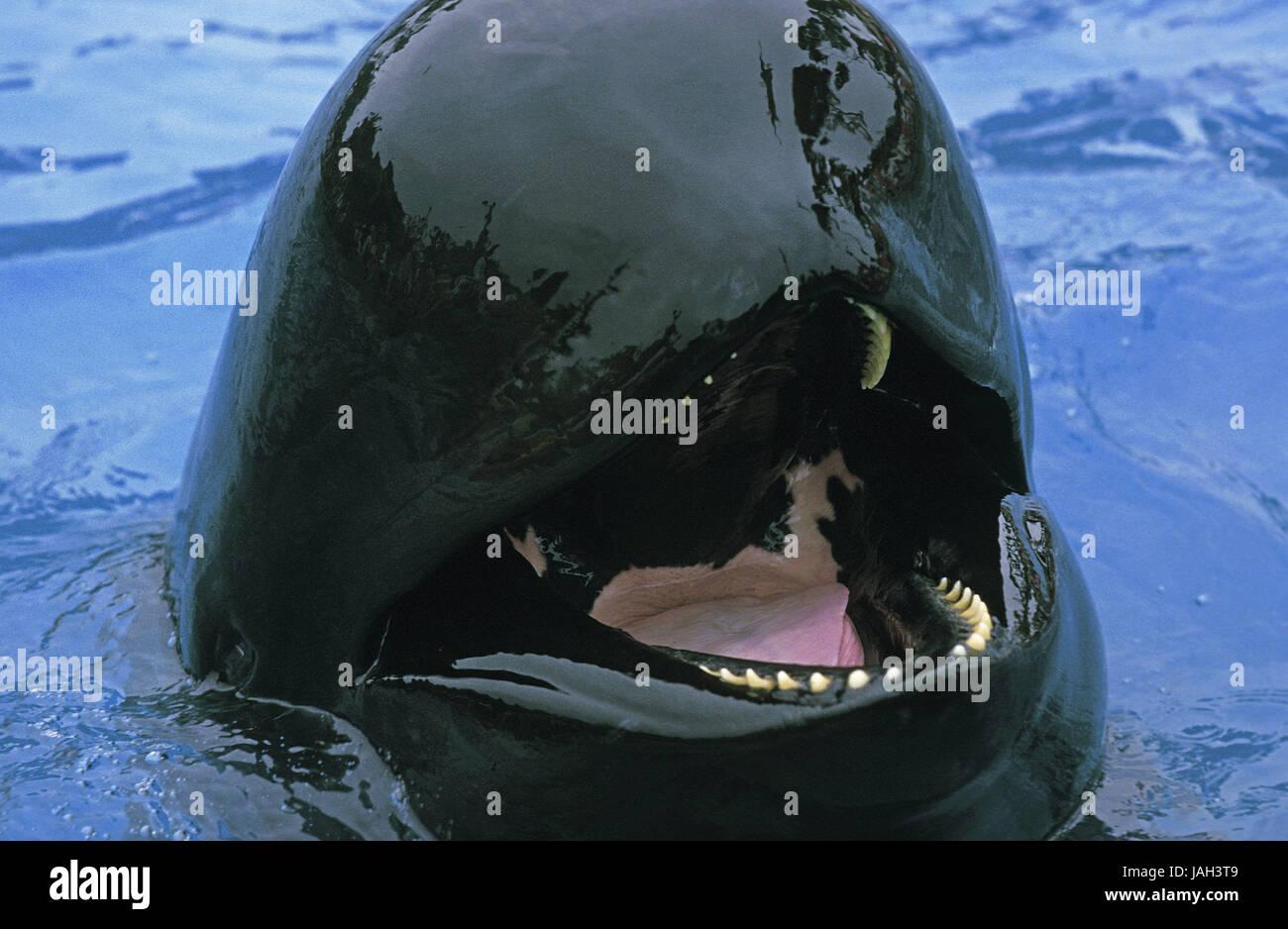 Schorf Whale Globicephala Melaena Erwachsenen Tier Offener Mund