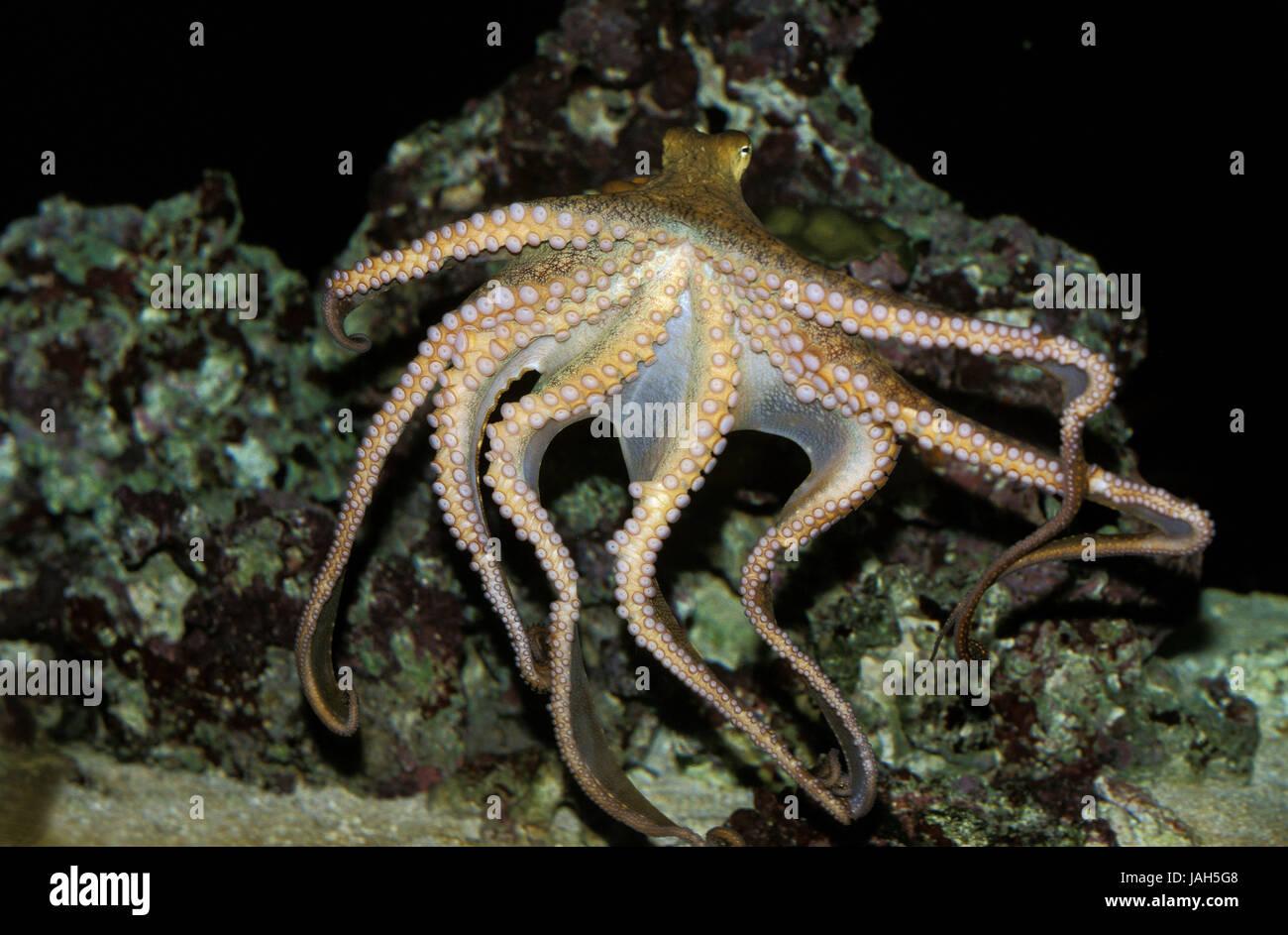 Tintenfisch, Octopus SP., Schwimmen, Tentakel, Stockbild