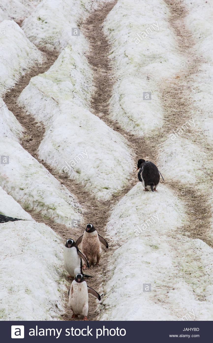 """Mehrere Gentoo Penguins, Pygoscelis Papua, Fuß die """"Pinguin-Highway"""" vom Rookery zum Meer auf Cuverville Stockbild"""