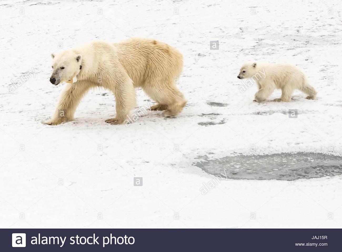 Ein Eisbär Ursus Maritimus und ihr junges. Die Bärenmutter trägt einen Radio tracking-Kragen. Stockbild