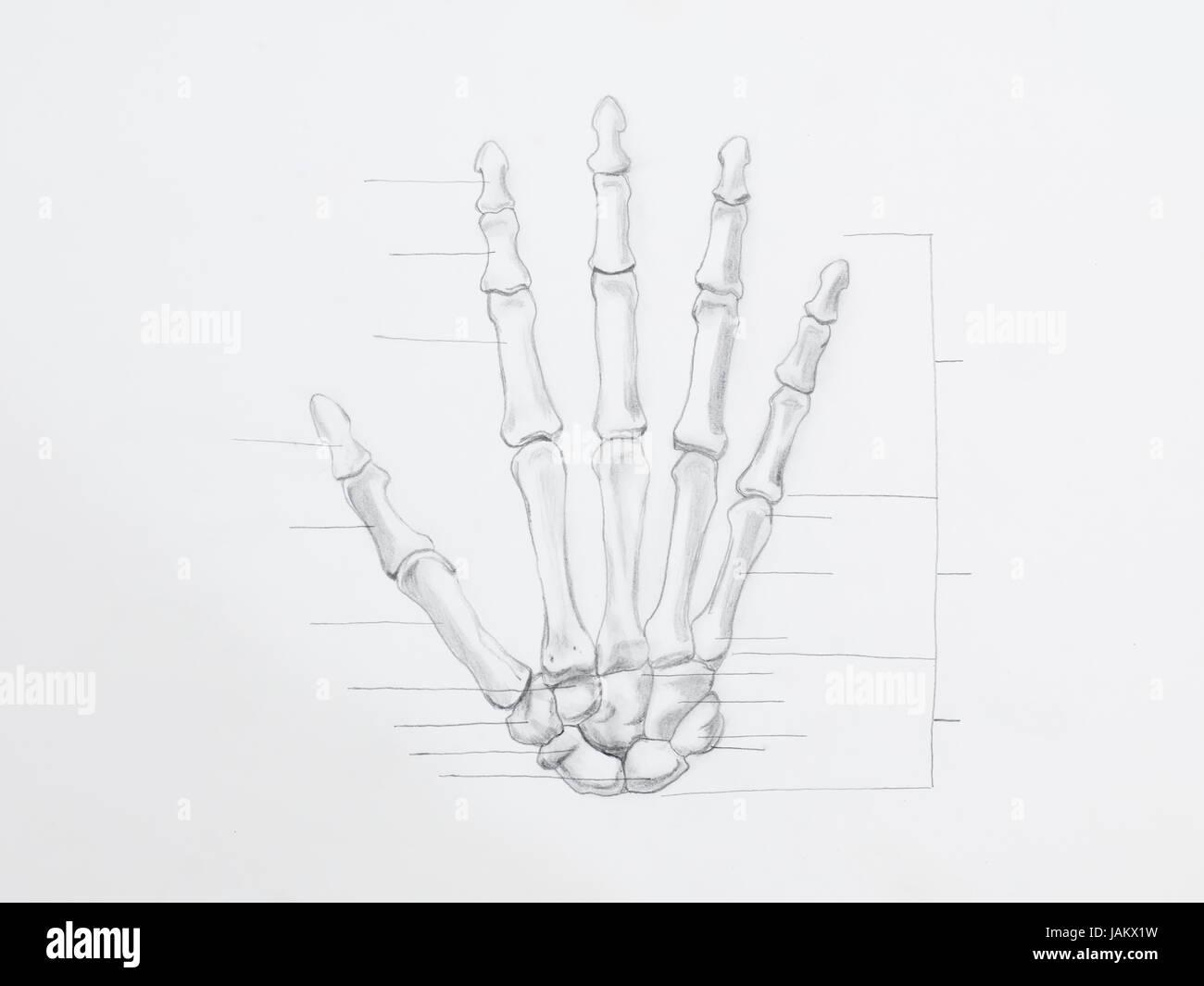 Detail von Hand Knochen Bleistiftzeichnung auf weißem Papier ...