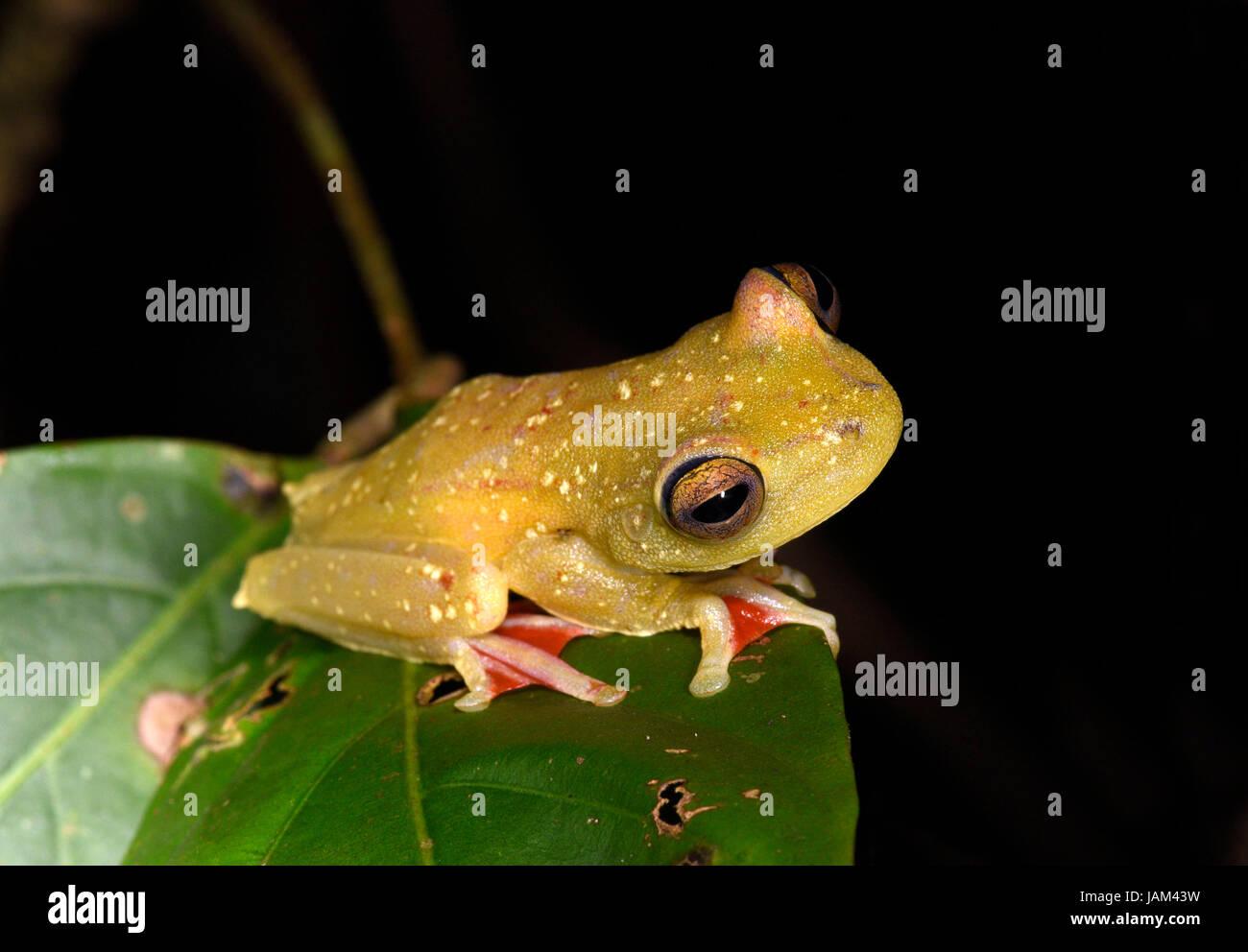 Rot-Schwimmhäuten Laubfrosch (Hypsiboas Rufitelus) setzte sich auf Blatt in der Nacht, Costa Rica, März Stockbild
