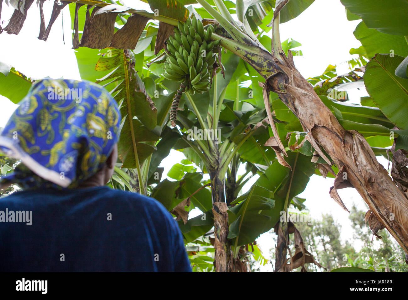 fruit farm africa stockfotos fruit farm africa bilder alamy. Black Bedroom Furniture Sets. Home Design Ideas