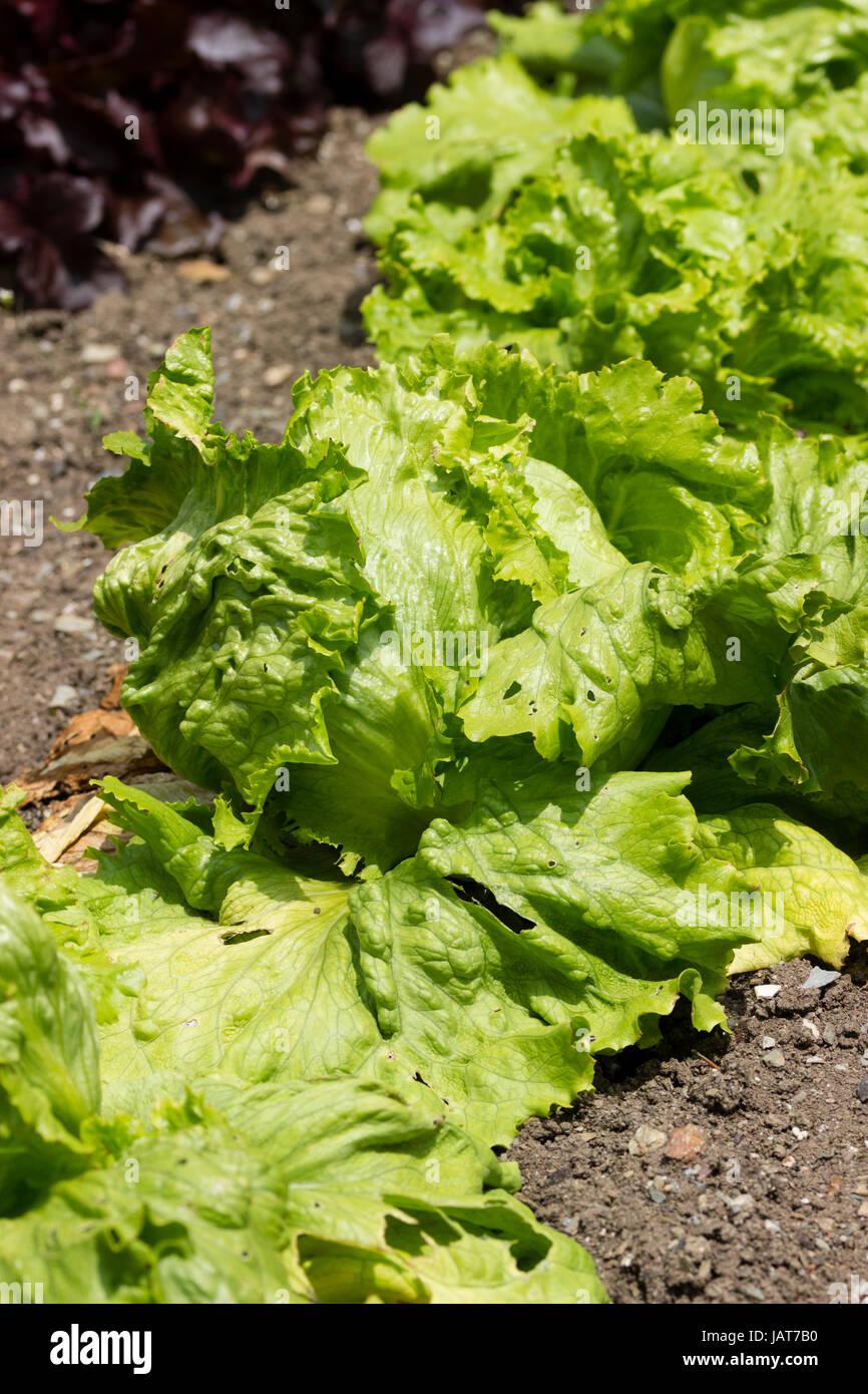 """Grüne Blätter von der beliebten Crisphead, Typ Eisbergsalat, """"Webbs Wonderful"""" Stockbild"""