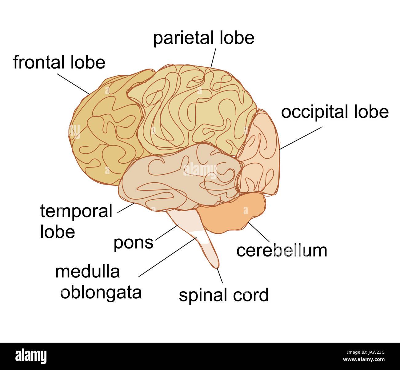 Berühmt Das Menschliche Gehirn Gekennzeichnet Ideen - Menschliche ...
