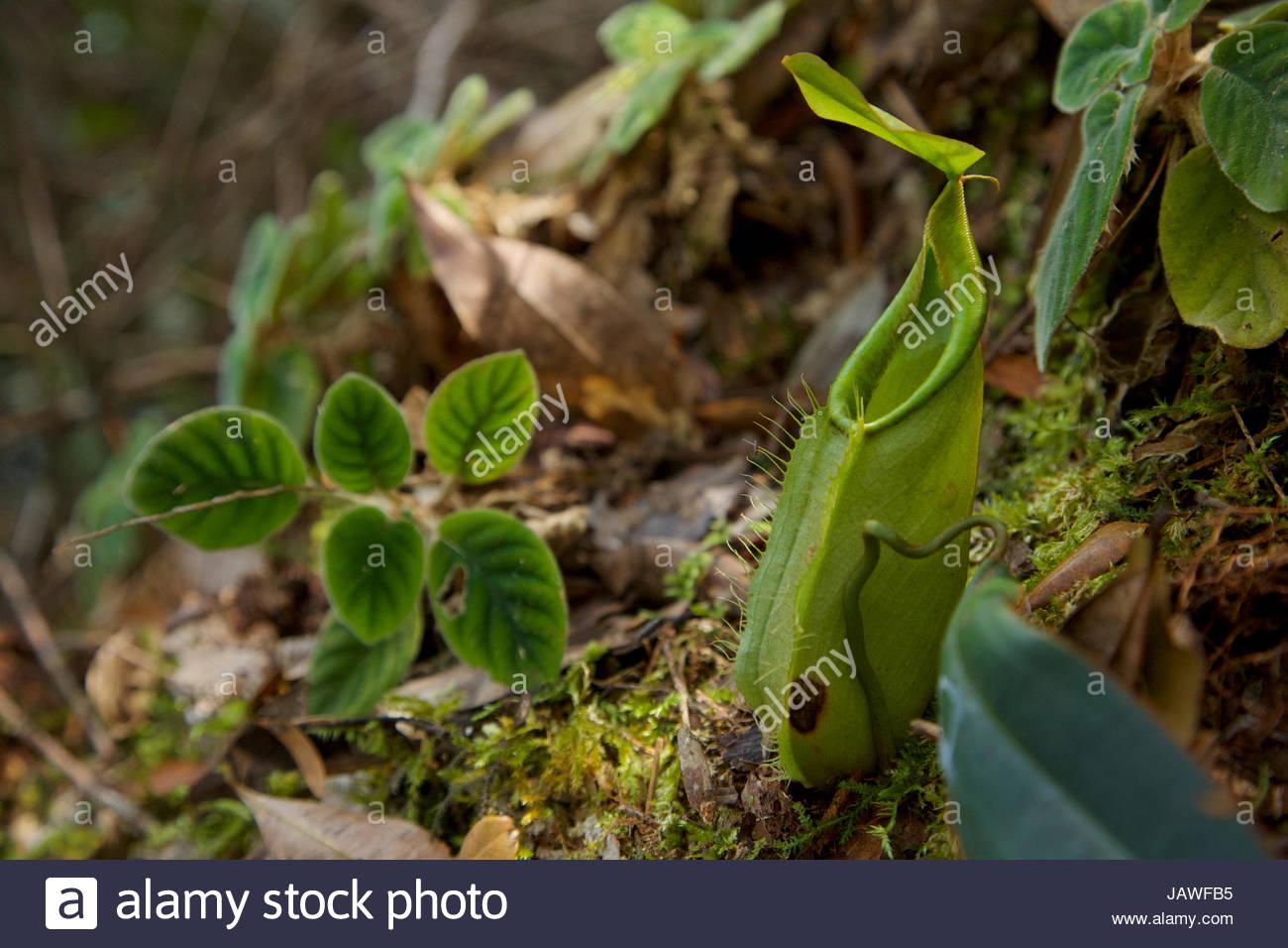 Eine Kannenpflanze Nepenthes Arten, in den oberen montane Wald des Mount Palung. Stockbild