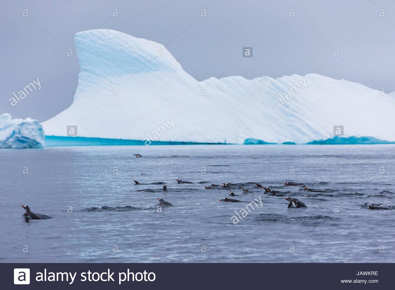 Gentoo Pinguine jagen und auf der Suche nach Krill zu Essen in der Nähe von Booth Island. Stockbild