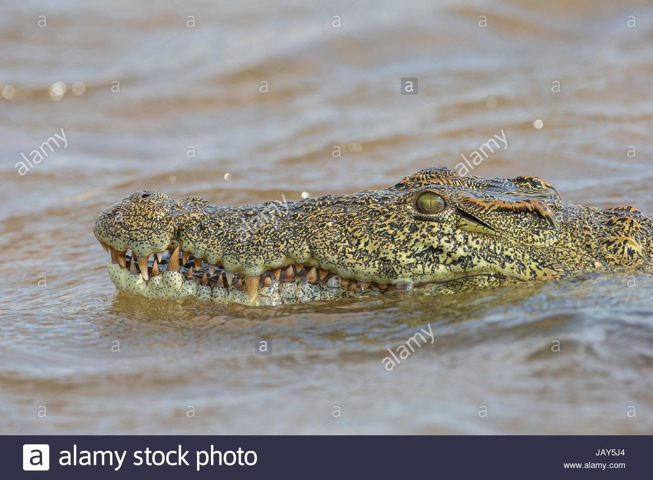 Fein Nil Krokodil Färbung Seite Zeitgenössisch - Druckbare ...