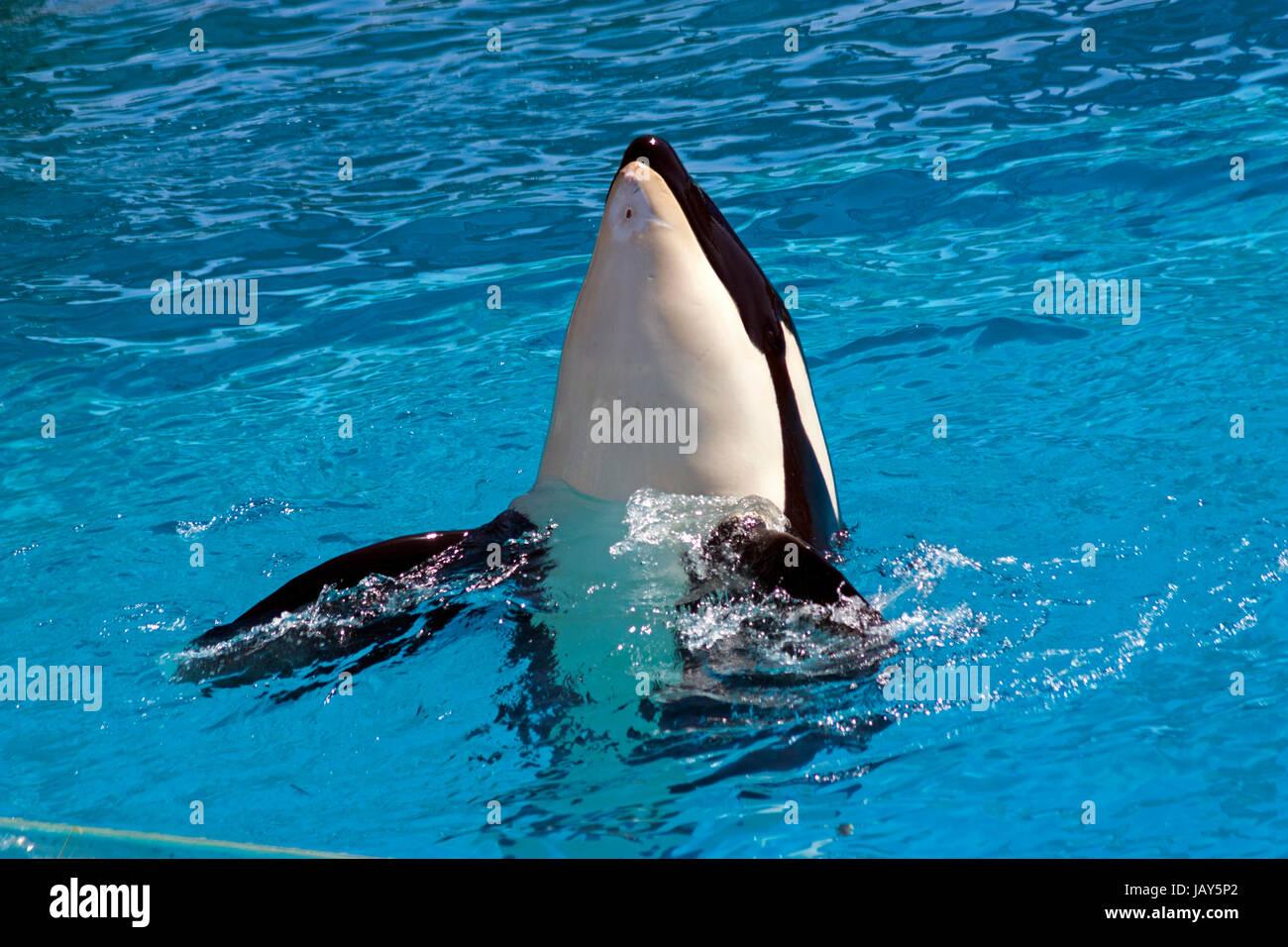 Delphin spähte aus blauem Wasser Stockfoto