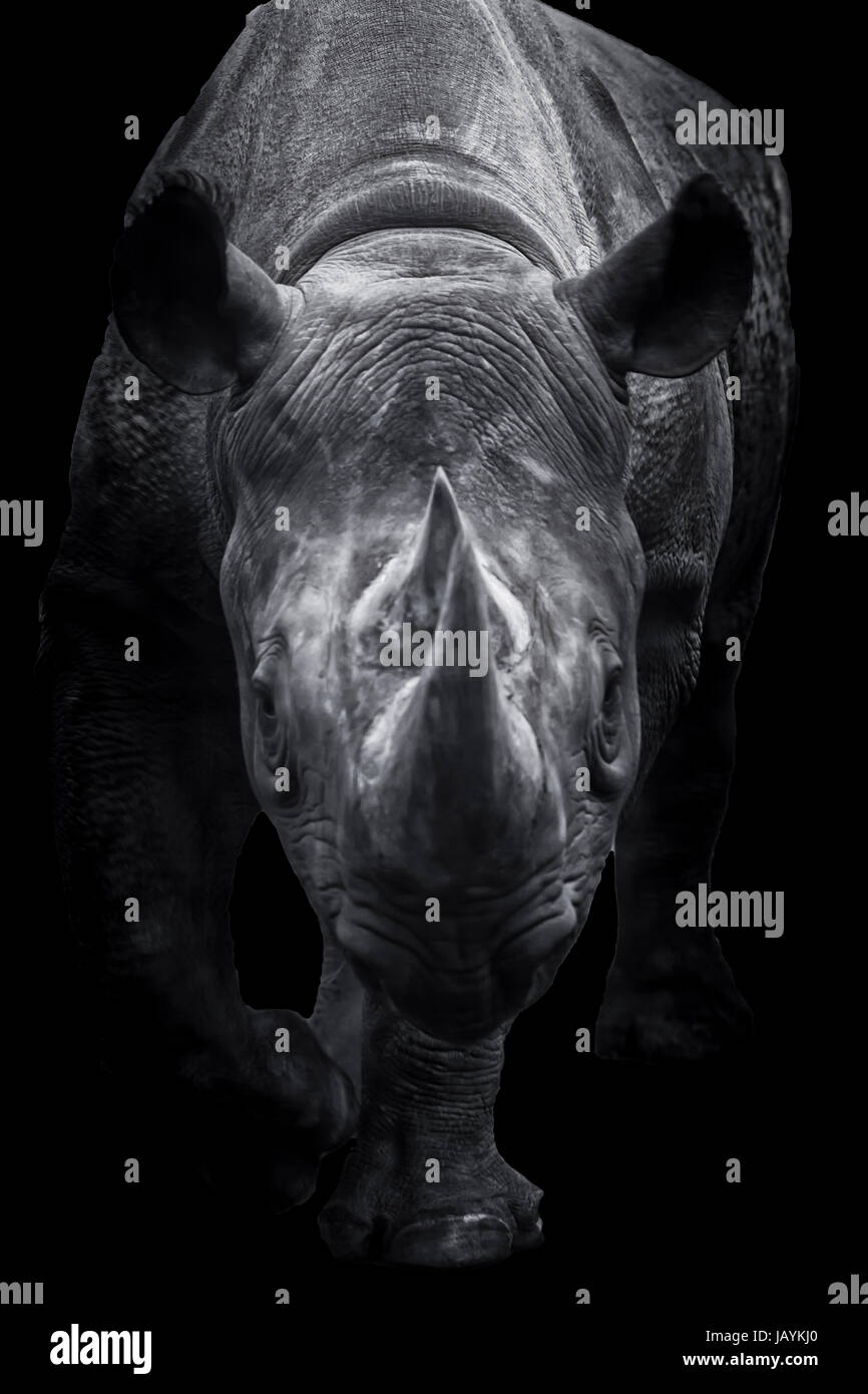 Ein schwarzen Nashorn zu Fuß rechts in Richtung des Betrachters. Das Tier ist ein fantastischer Anblick, und Stockbild