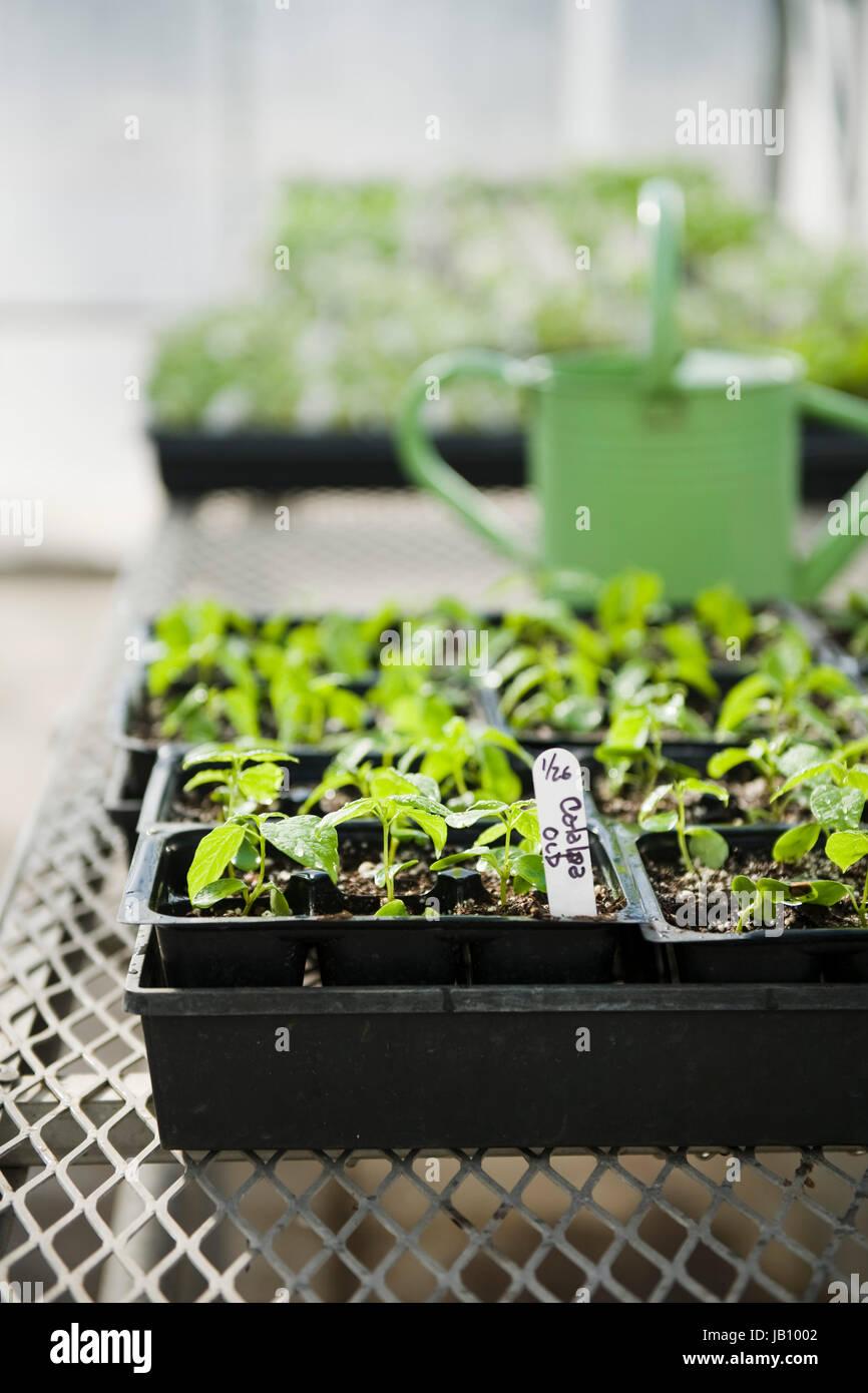 Gewächshaus, grün, hell, Bewässerung, Dose, Draht-Tisch, weiß ...