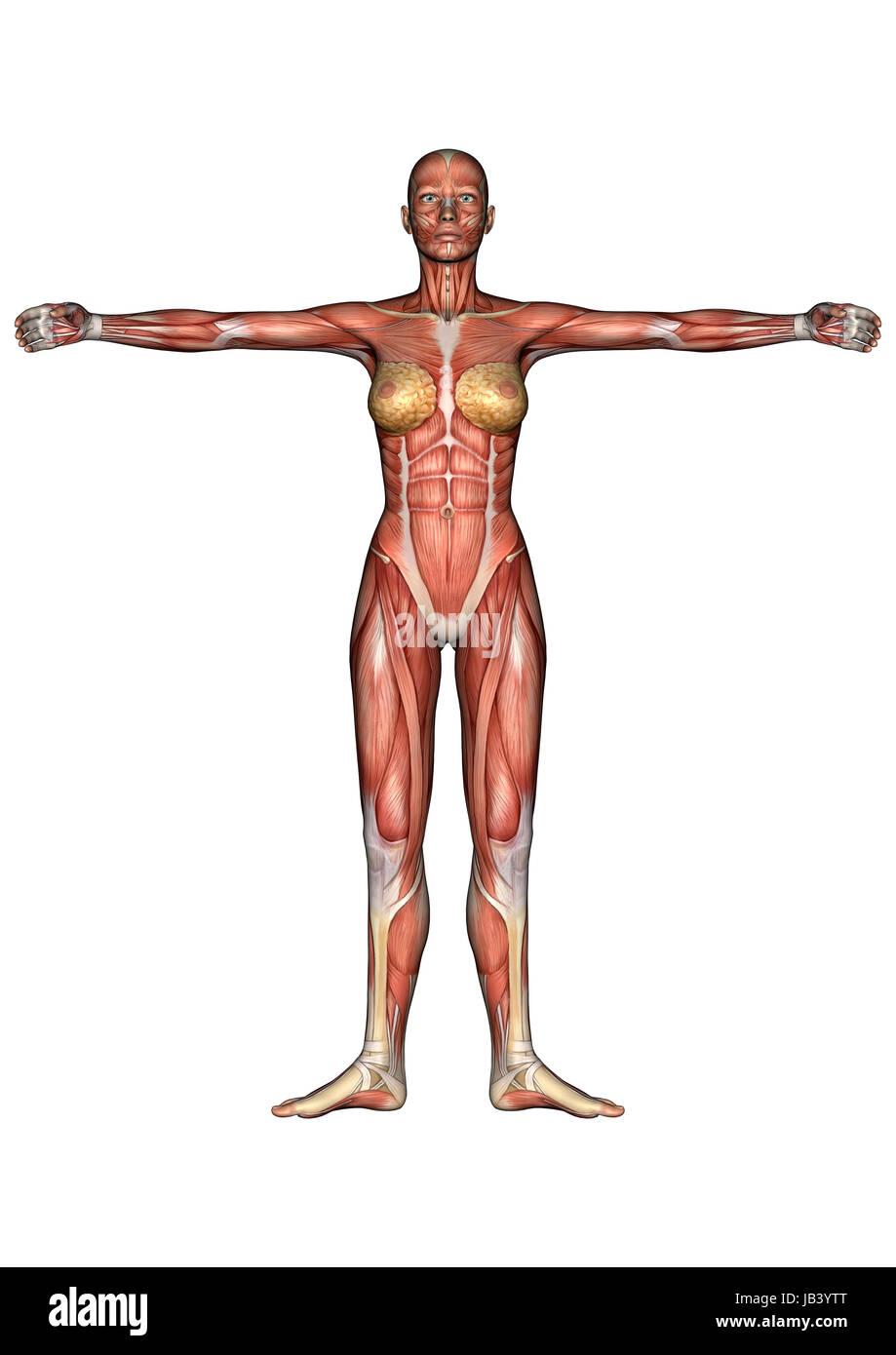 Schön 3d Anatomie Muskeln Zeitgenössisch - Physiologie Von ...