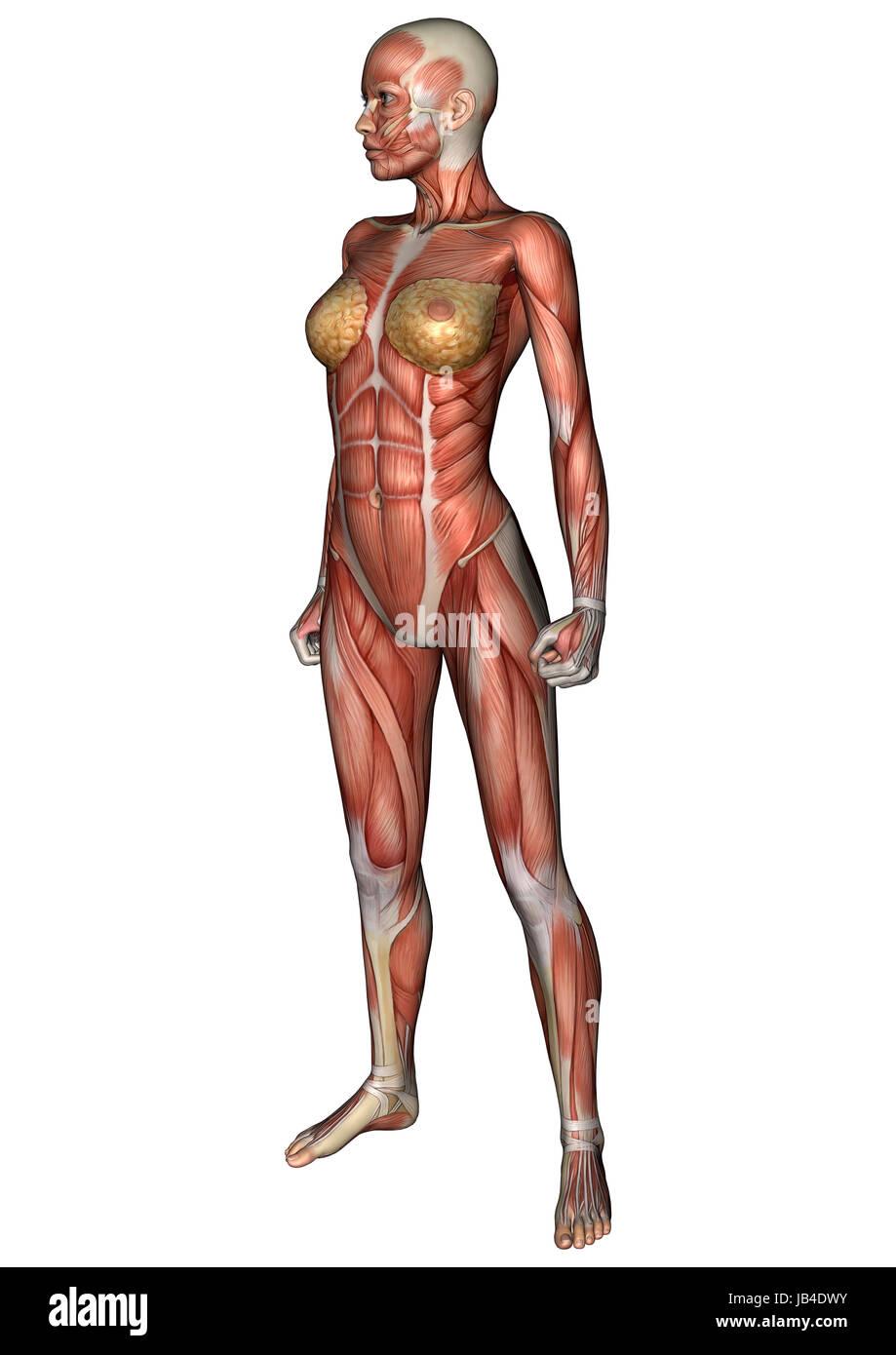 Charmant Muskeltraining Anatomie Bilder - Anatomie Ideen - finotti.info