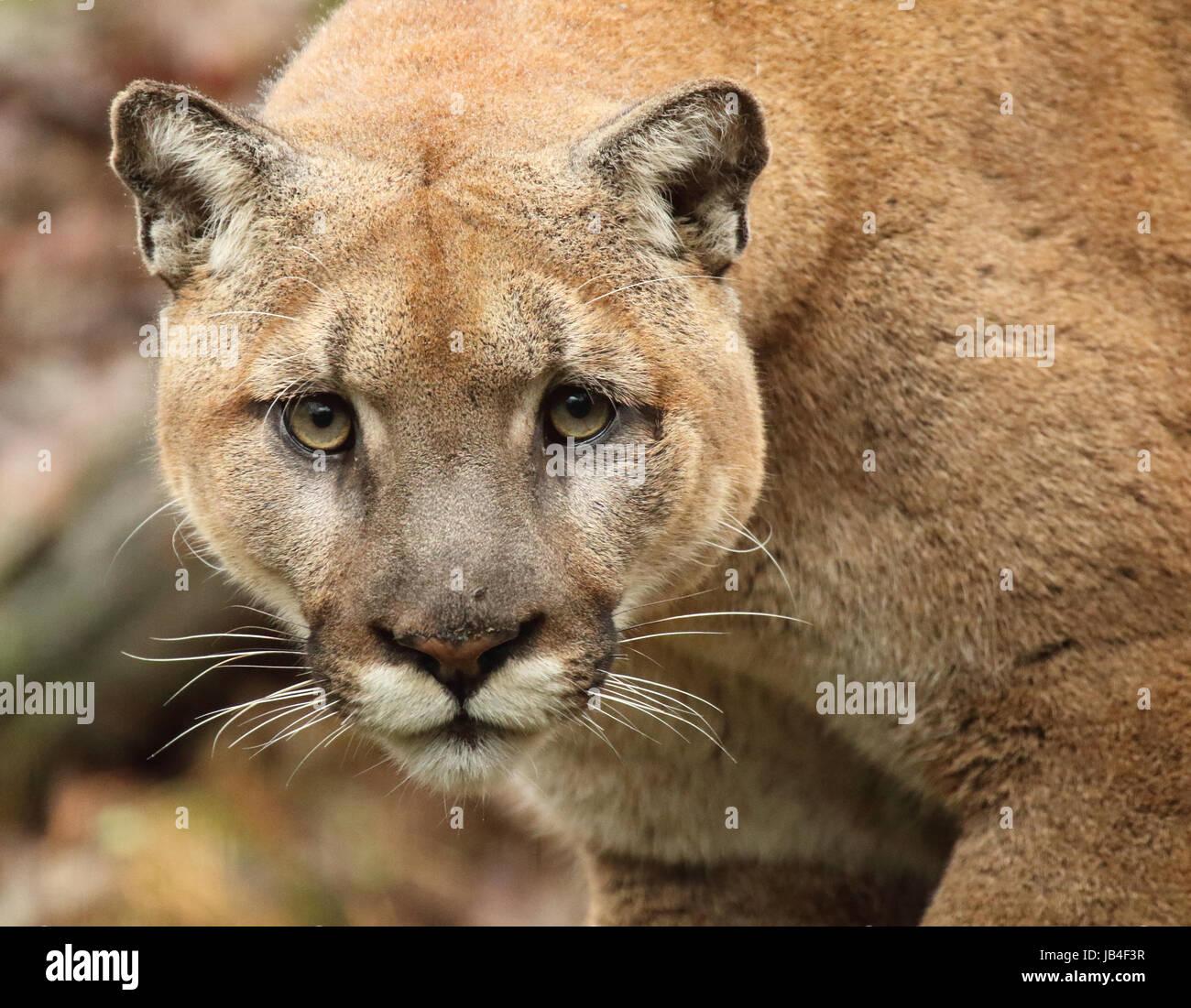 große Beute Cougar Bilder