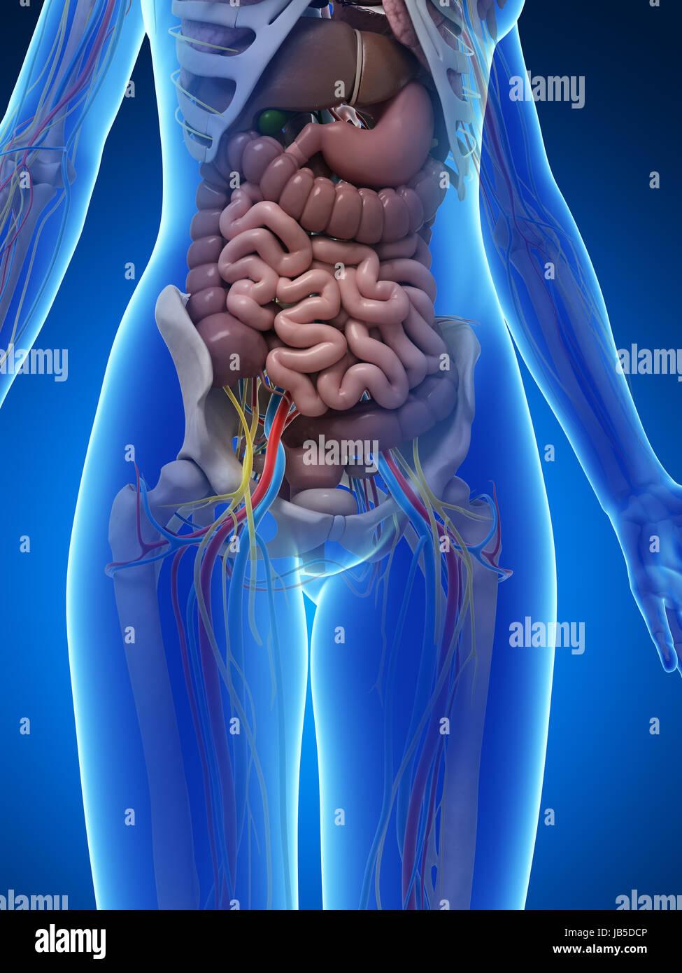 Ungewöhnlich Ciliarmuskels Anatomie Bilder - Menschliche Anatomie ...