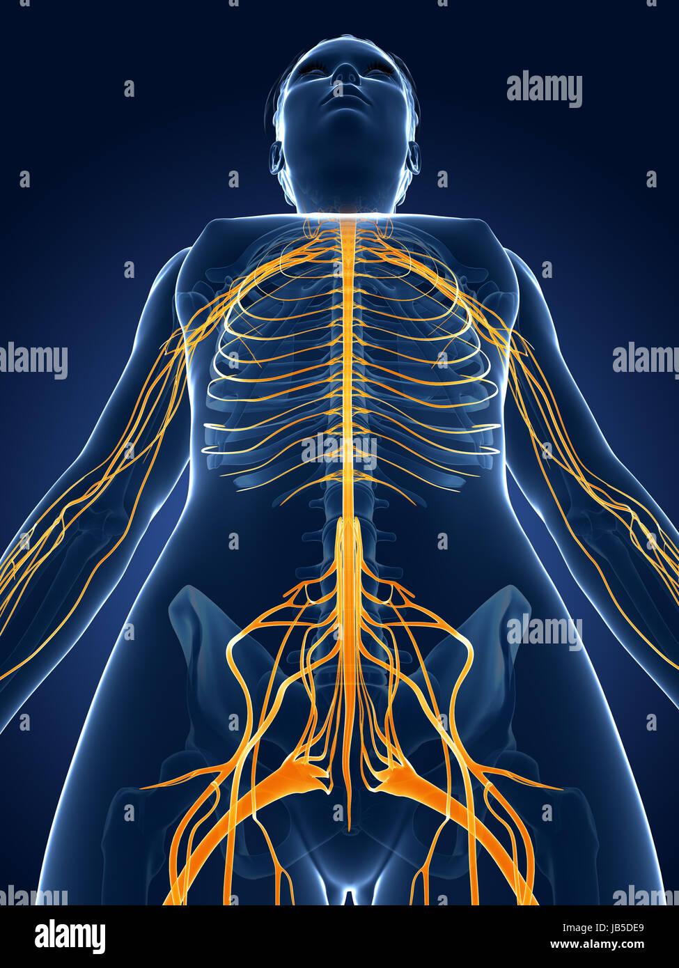 Charmant Weibliche Fortpflanzungssystem Anatomie Bilder Bilder ...