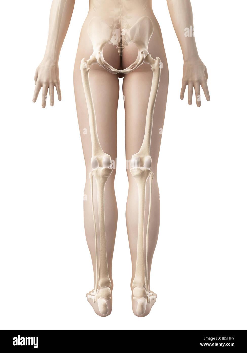weibliche Beinknochen Stockfoto, Bild: 144567751 - Alamy