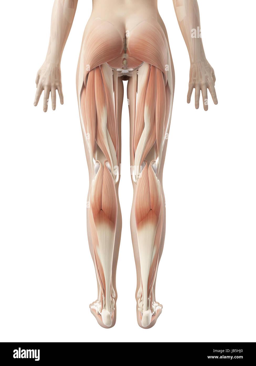 Fein Beinmuskulatur Diagramm Zeitgenössisch - Menschliche Anatomie ...