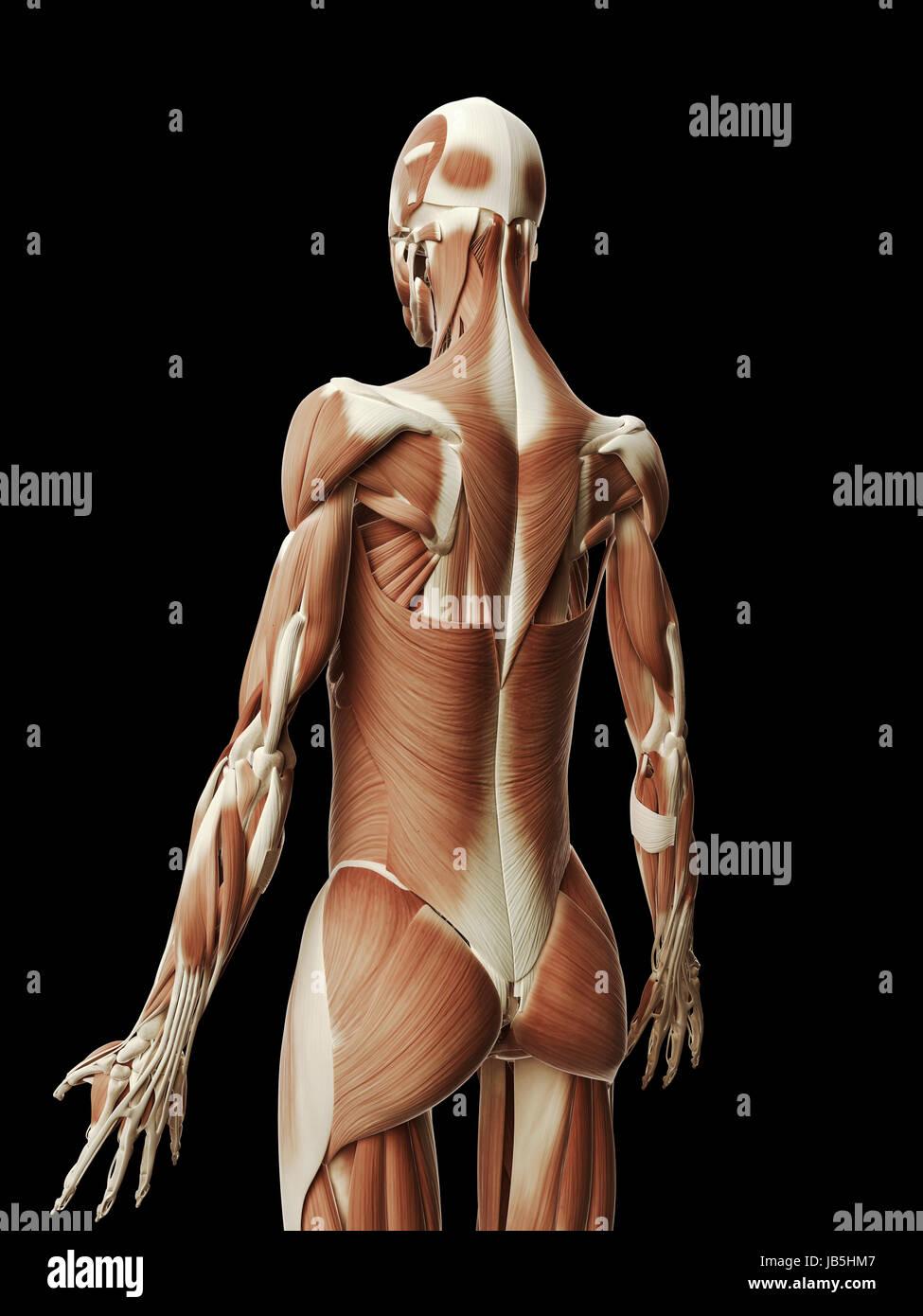 medizinische Illustration der weibliche Muskeln Stockfoto, Bild ...