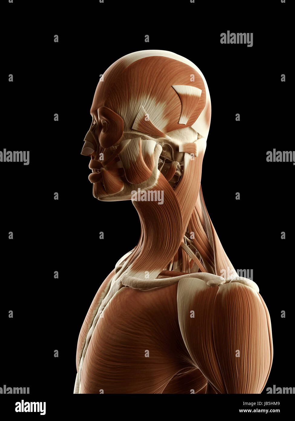 Beste Muskelanatomie Gesicht Bilder - Menschliche Anatomie Bilder ...