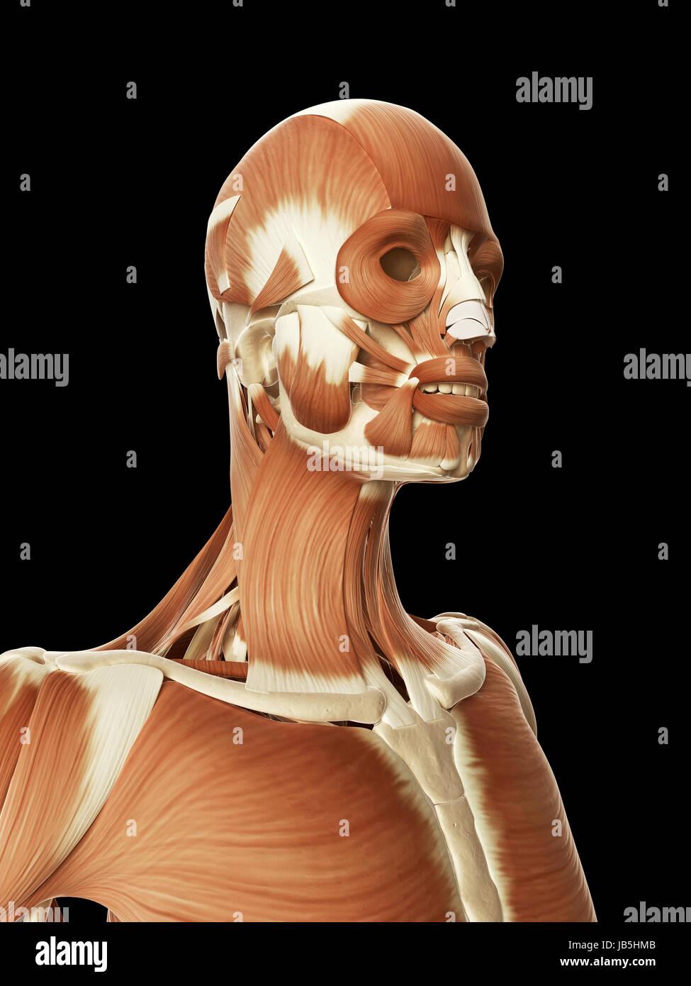 Schön Menschliches Gesicht Muskelanatomie Fotos - Menschliche ...