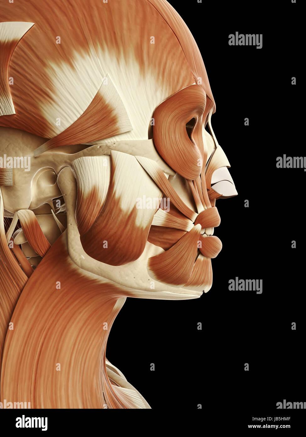 Fein Muskeln Des Gesichts Diagramm Galerie - Menschliche Anatomie ...