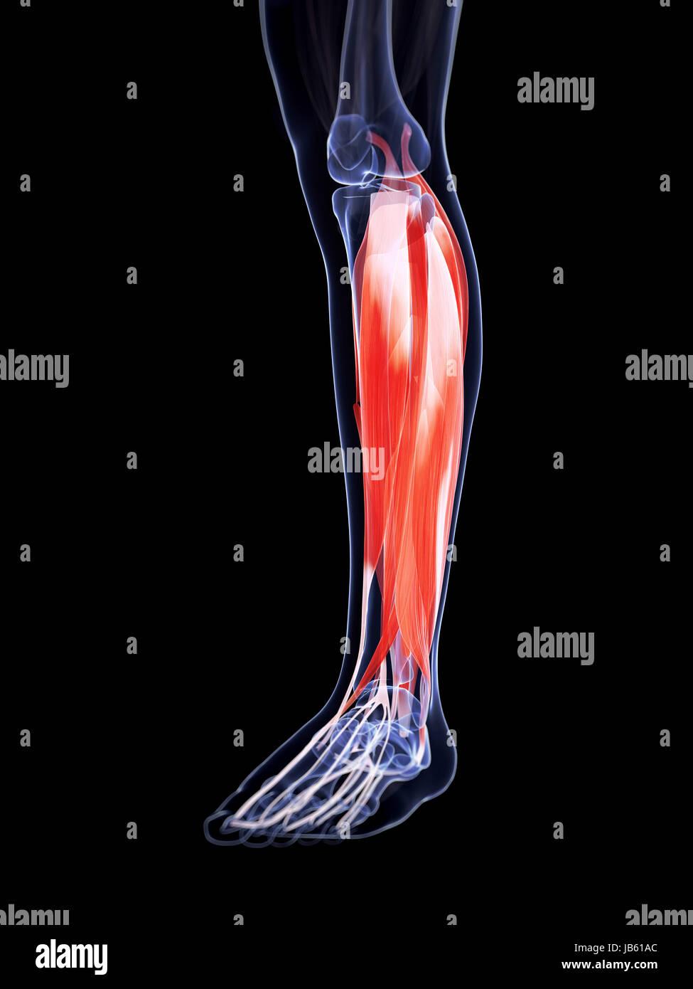 Ausgezeichnet Anatomie Der Beinmuskulatur Und Sehnen Zeitgenössisch ...