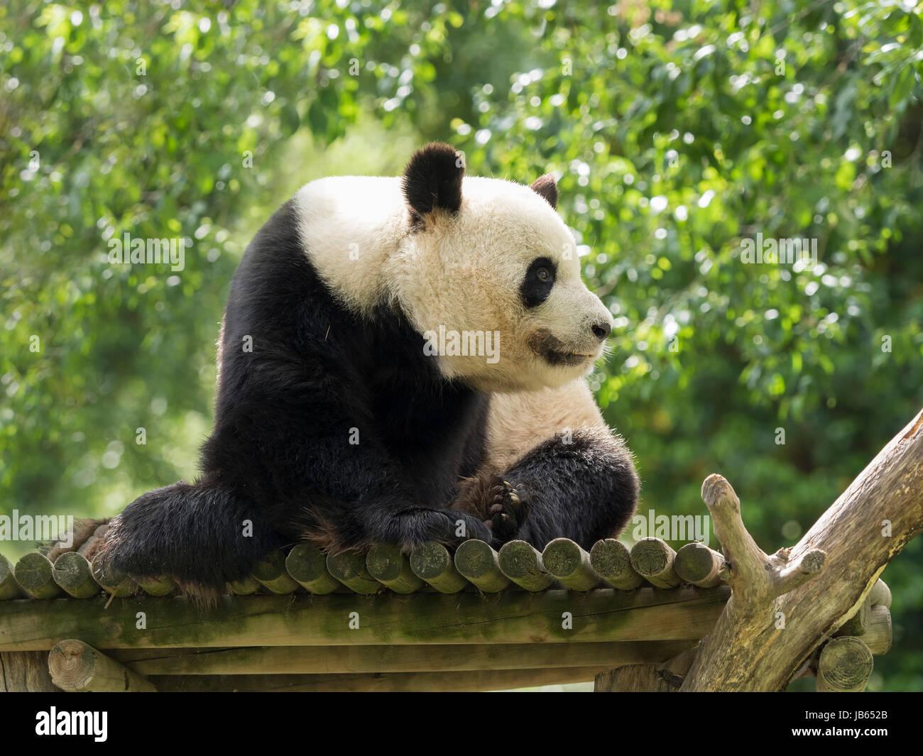 Fein Pandabär Malvorlagen Zum Ausdrucken Fotos - Beispiel Business ...