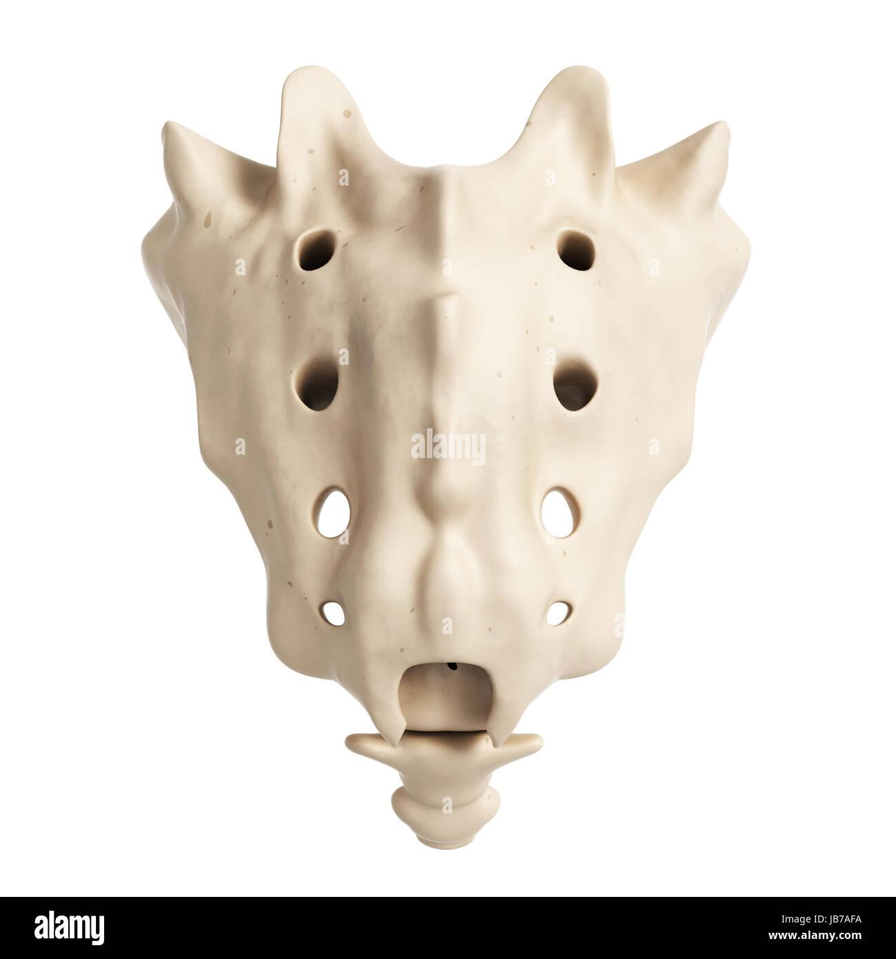 Sacrum Bone Stockfotos & Sacrum Bone Bilder - Alamy