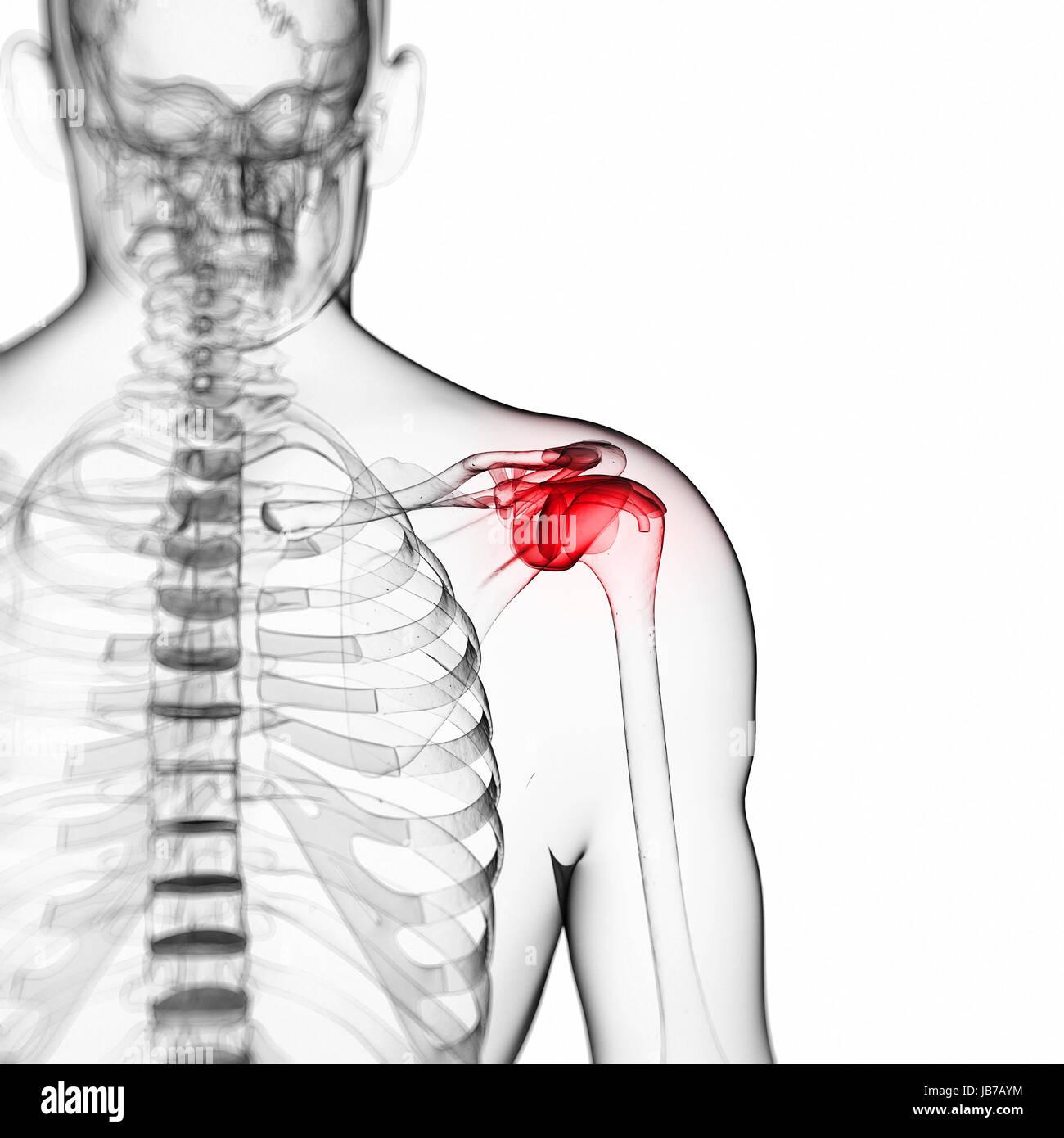 Ausgezeichnet Schulter Anatomie Diagramm Galerie - Anatomie Von ...