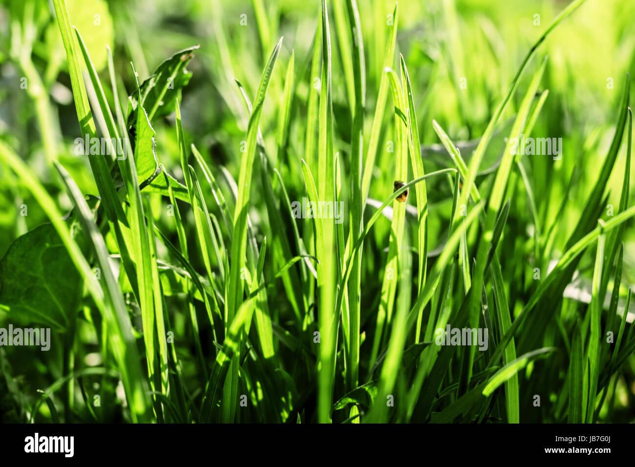 Junge Frühling grünen Rasen von Sonne beschienen Stockfoto