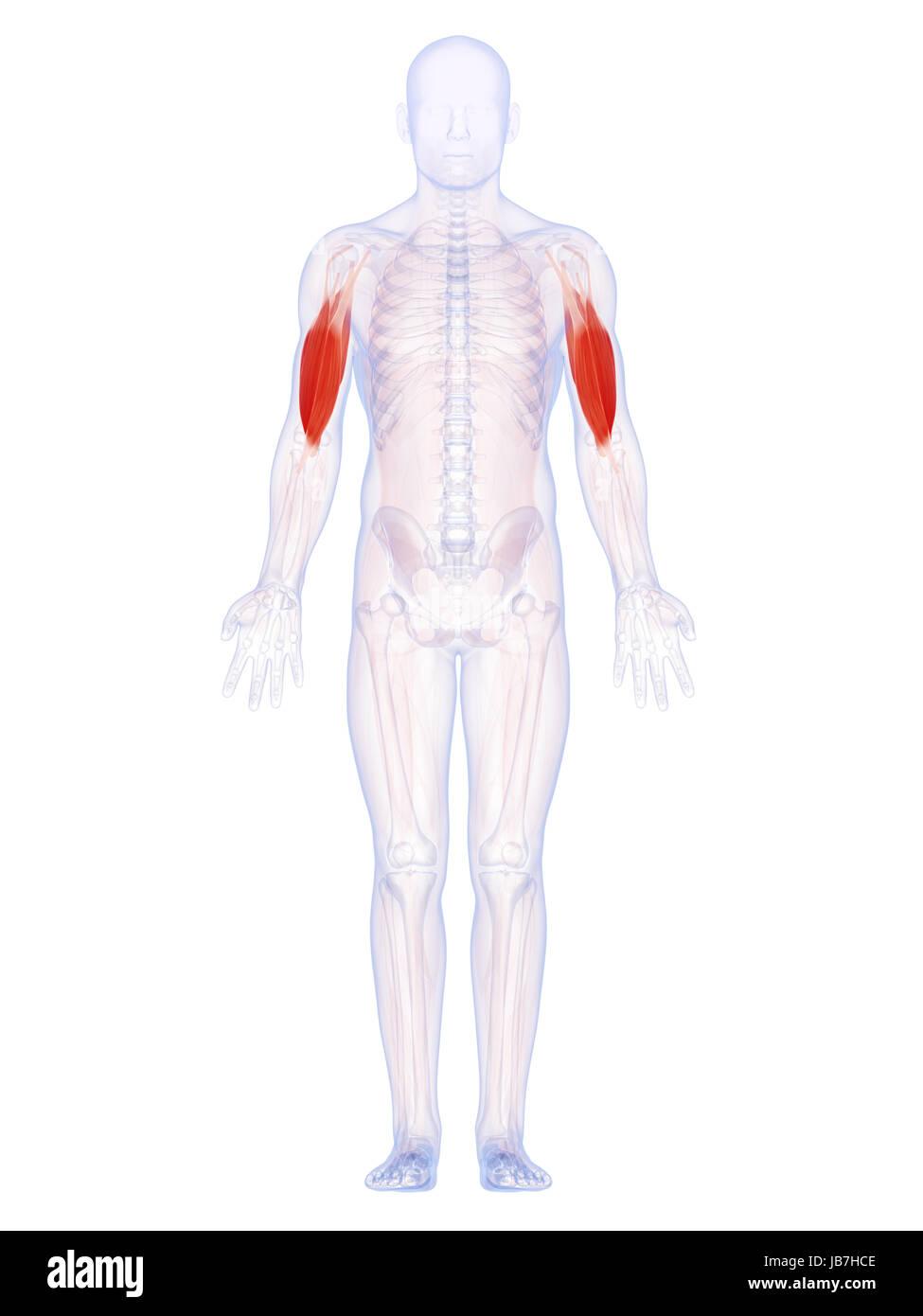 Beste Muskeln Im Arm Bilder - Anatomie Und Physiologie Knochen ...