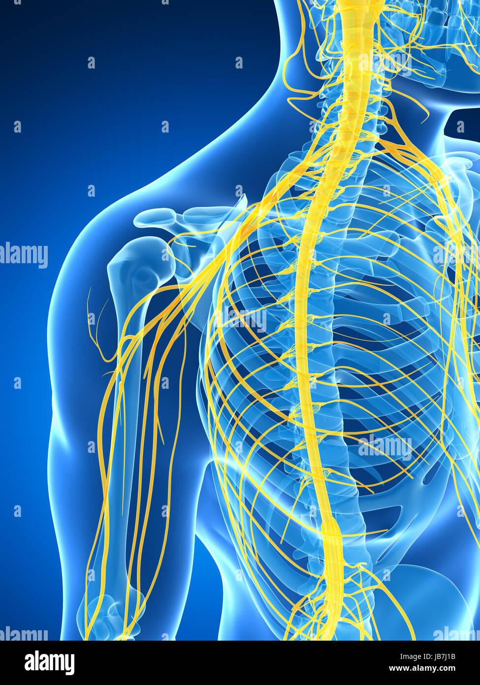 Ungewöhnlich Anatomie Und Physiologie Männliche Fortpflanzungssystem ...