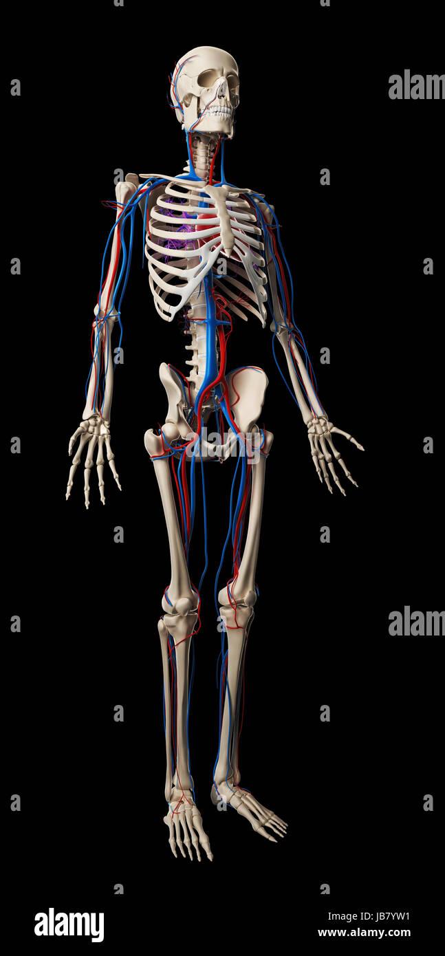Tolle Anatomie Und Physiologie Skelett Labor Fotos - Menschliche ...
