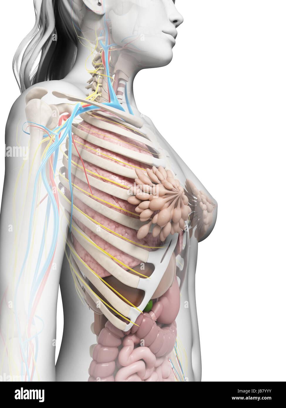 Nett Internes Weibliche Anatomie Diagramm Galerie - Anatomie Von ...