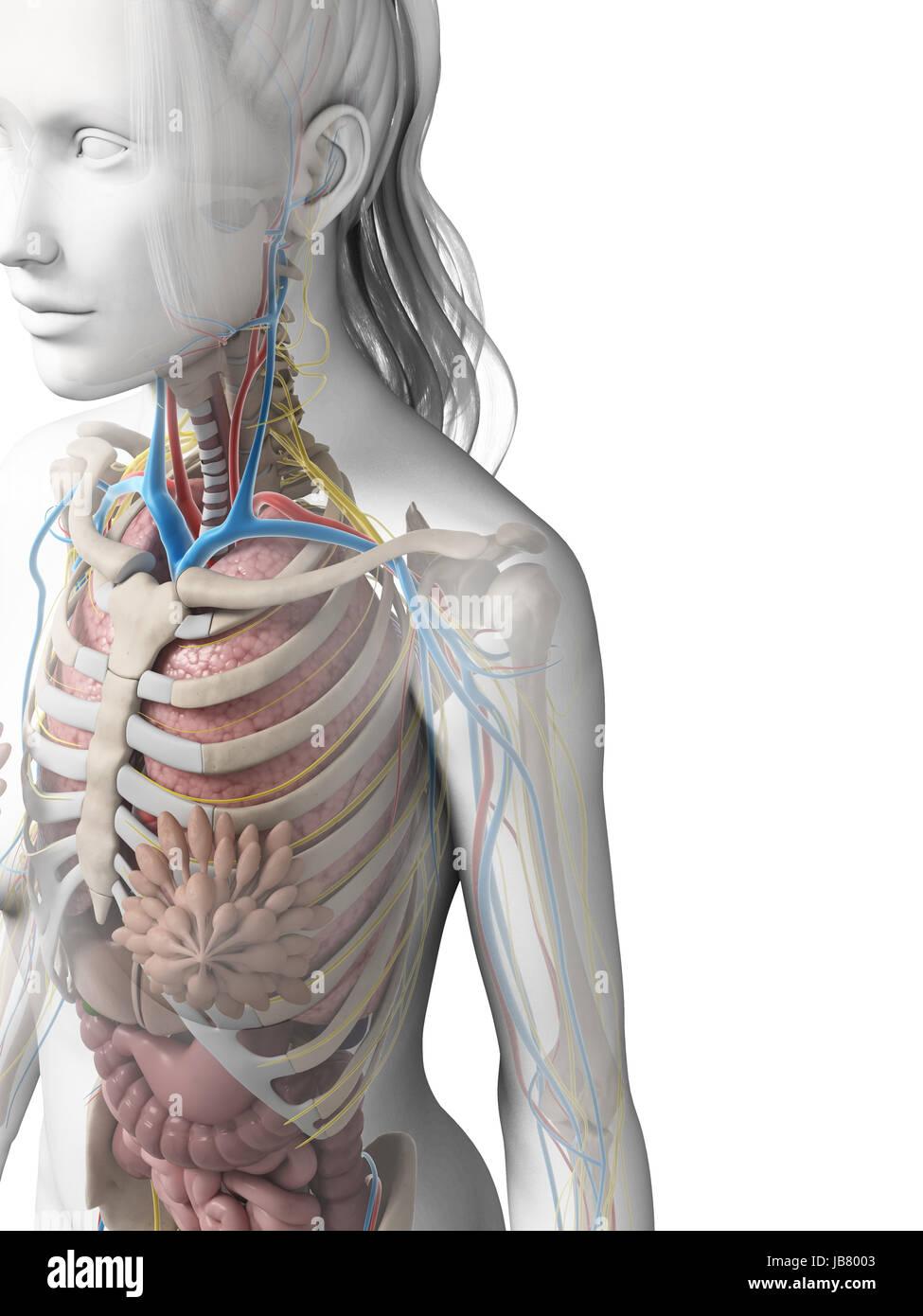 Anatomy Diagram Lungs Stockfotos & Anatomy Diagram Lungs Bilder ...
