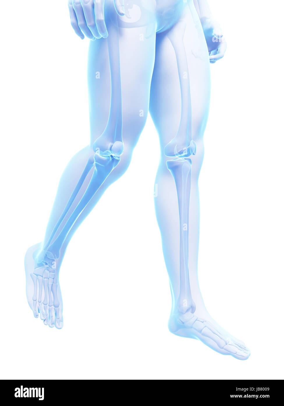 Großzügig Skelettsystem Beine Zeitgenössisch - Menschliche Anatomie ...