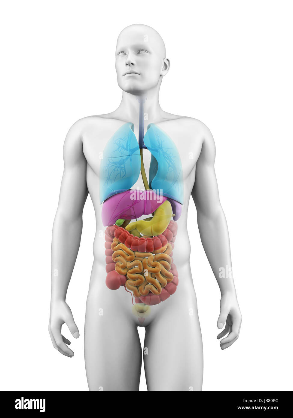 Male Stomach And Small Intestine Stockfotos & Male Stomach And Small ...