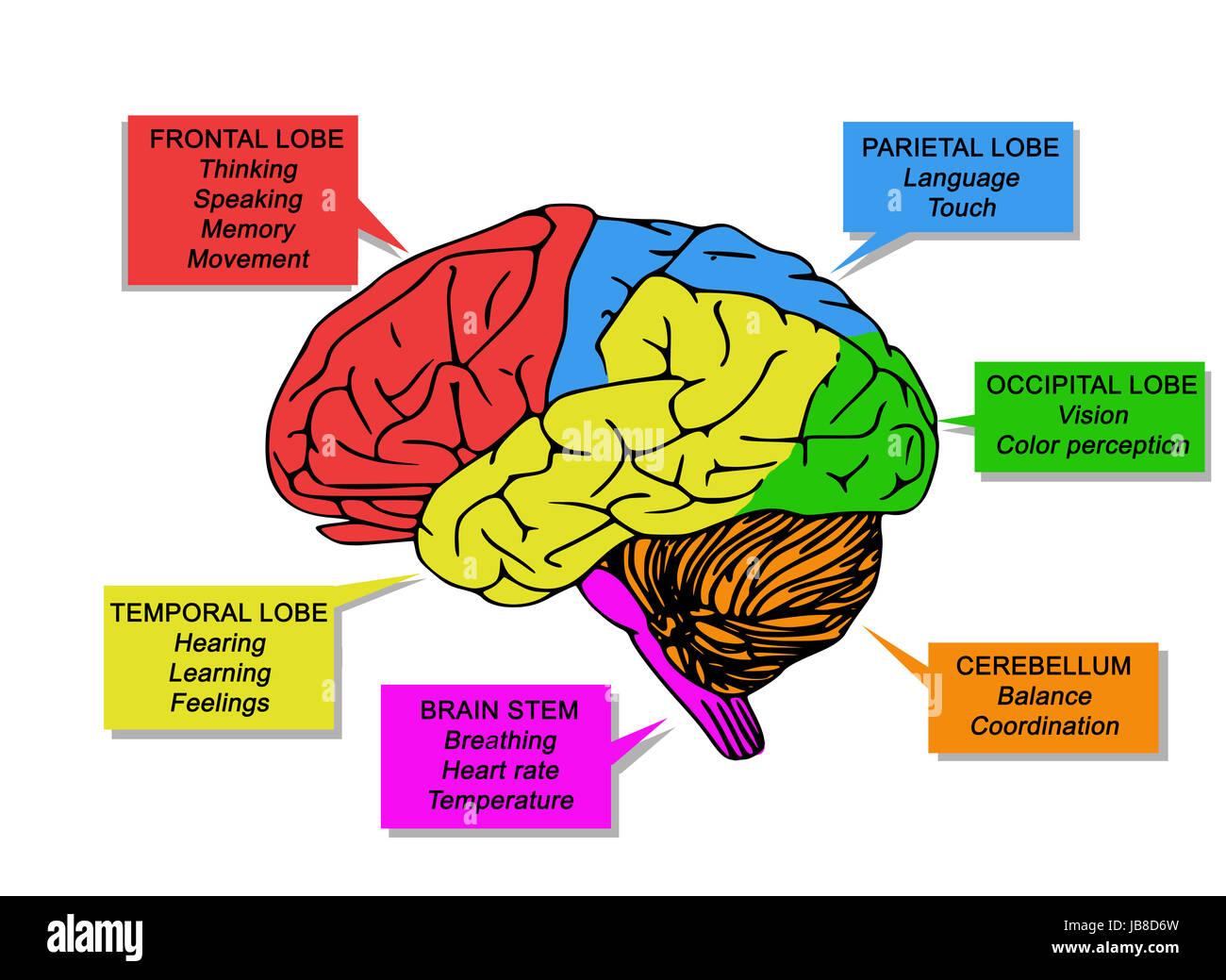 Funktionen des menschlichen Gehirns Stockfoto, Bild: 144630161 - Alamy