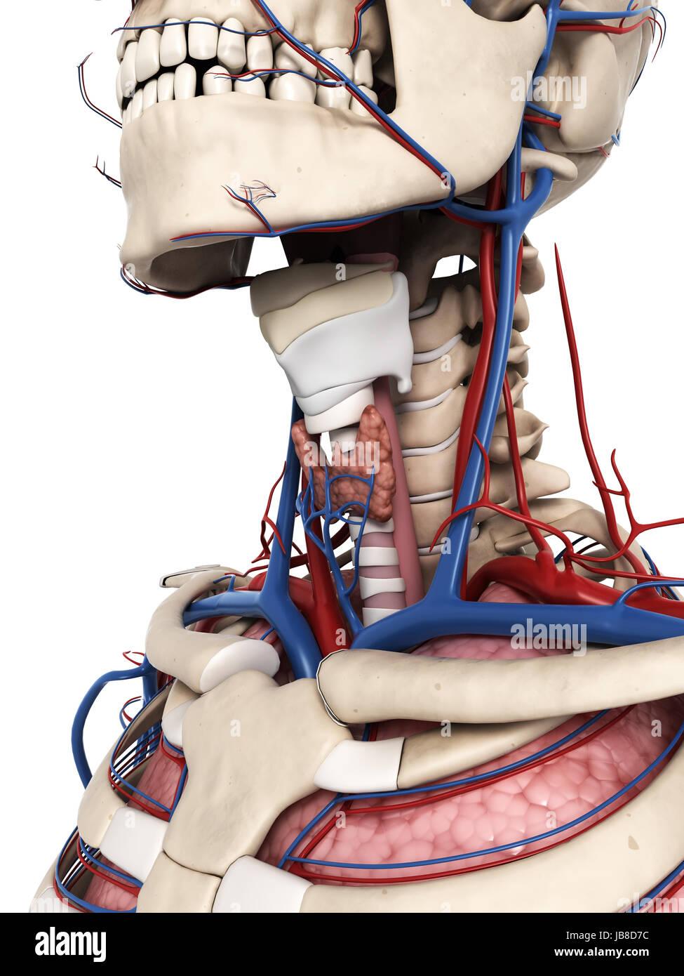 3D gerenderte Darstellung der Anatomie Hals Stockfoto, Bild ...