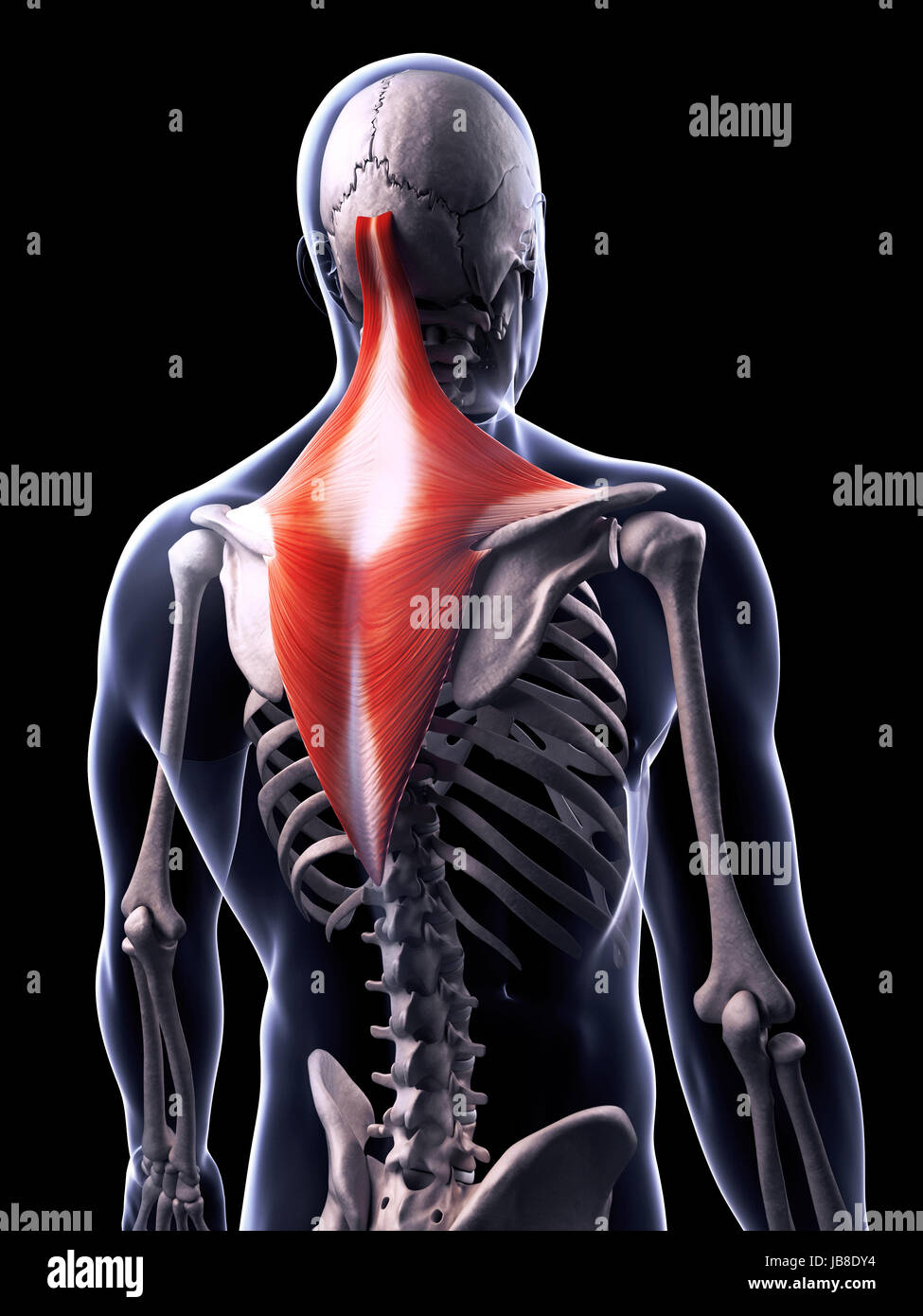 Berühmt Anatomie Und Physiologie Animationsvideos Bilder ...