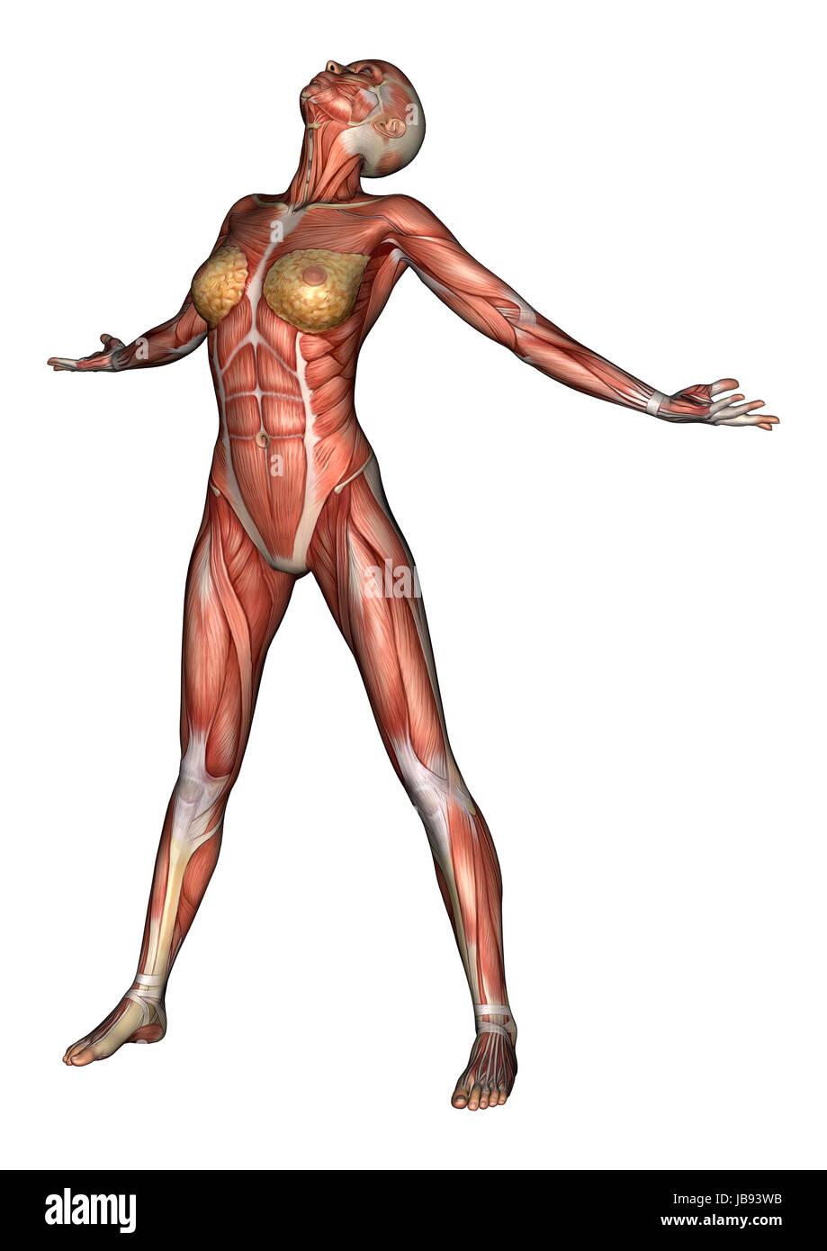 Charmant Seite Muskeln Anatomie Galerie - Menschliche Anatomie ...