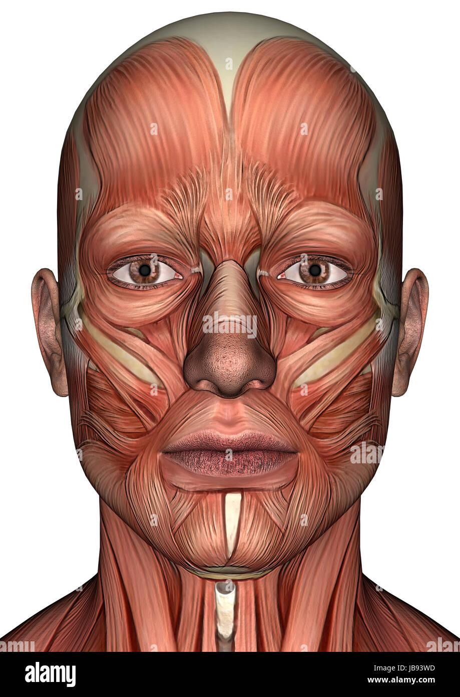 3D digital Rendern eines männlichen Anatomie Gesichts mit Muskeln ...