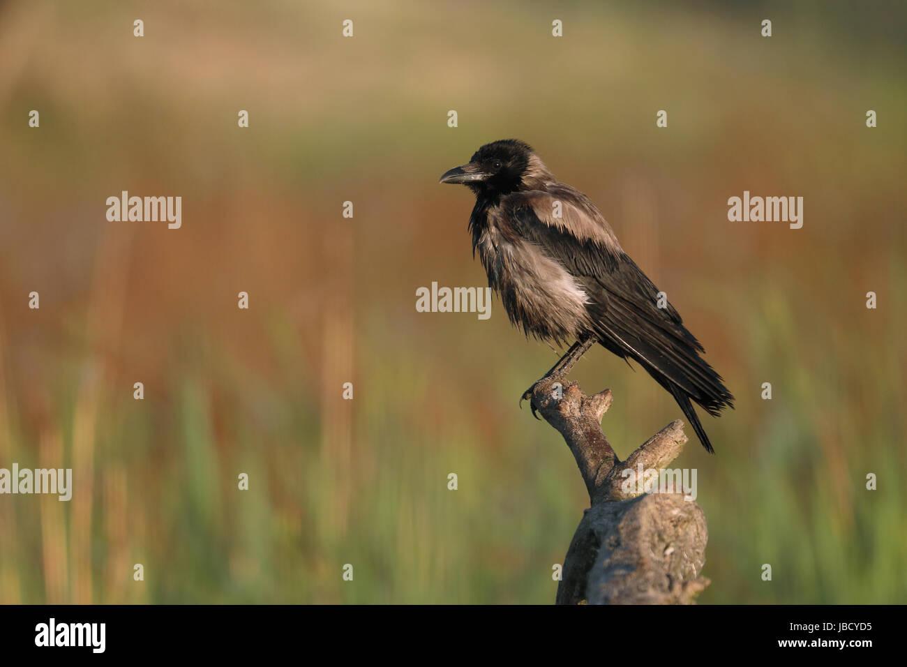 Nebelkrähe (Corvus coring), Donau Delta, Rumänien, Mai 2017 Stockbild